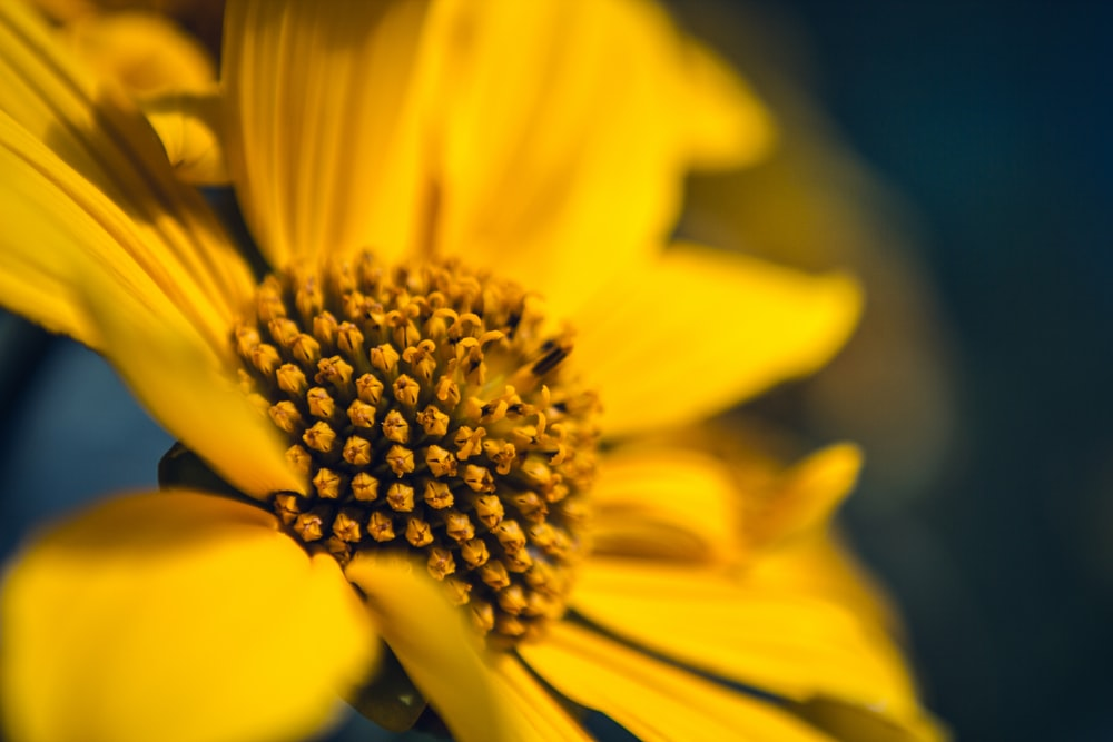 Yellow flower pictures download free images on unsplash blurry close up of a flower head with yellow center and yellow petals mightylinksfo