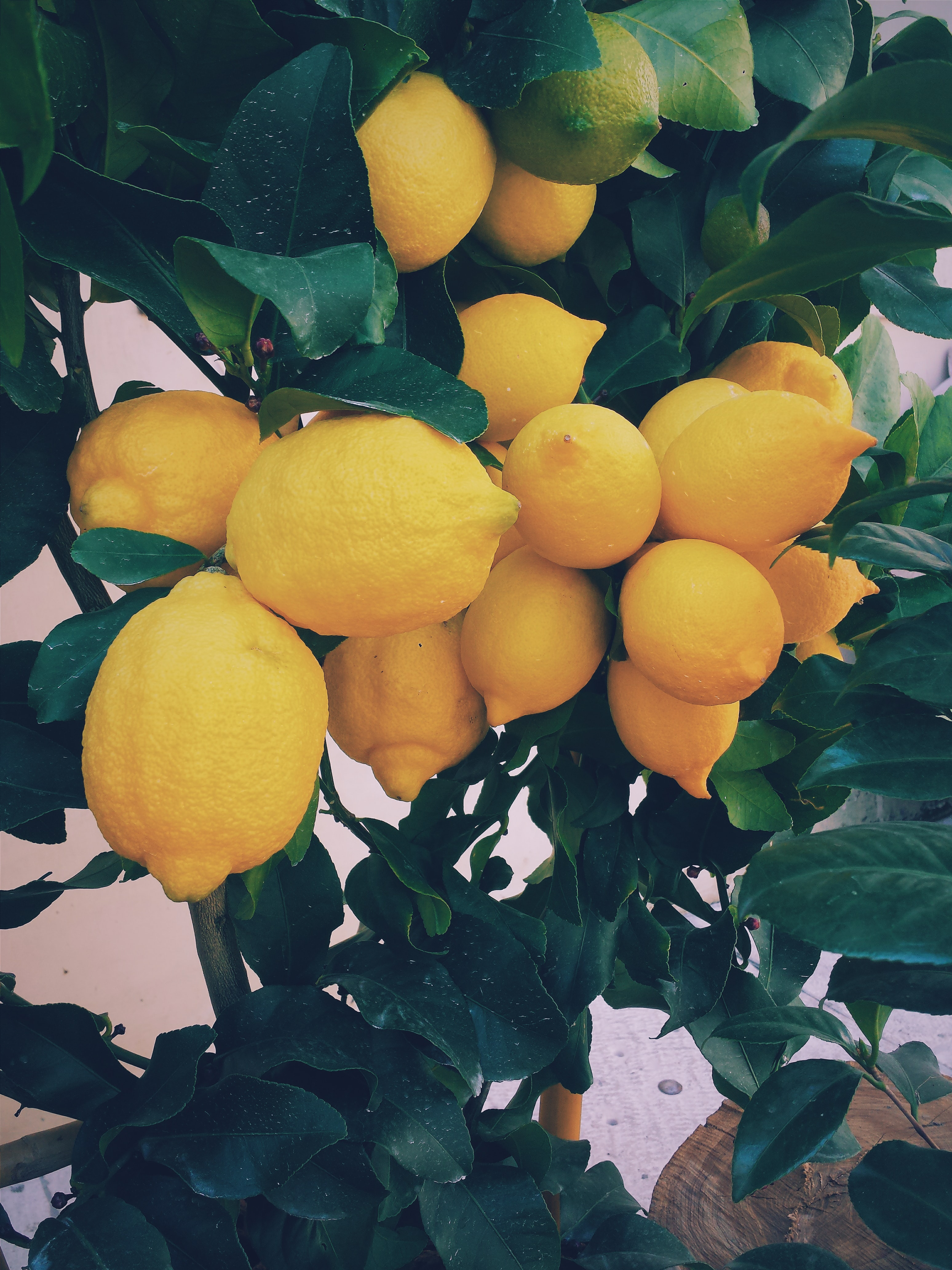 A cluster of large ripe lemons on a lemon tree