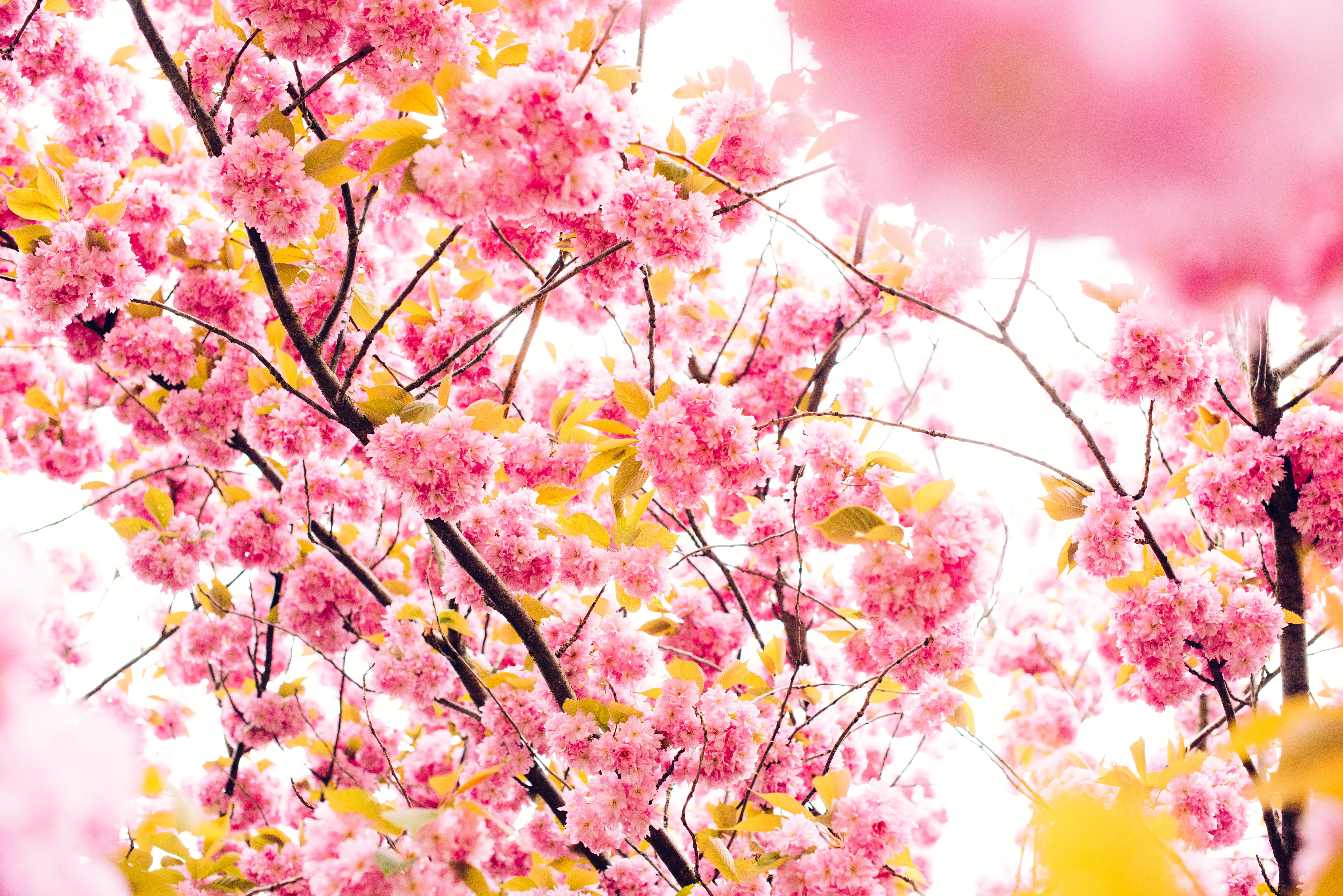 Close up nature shot of tree branch with beautiful pink blossom in Spring