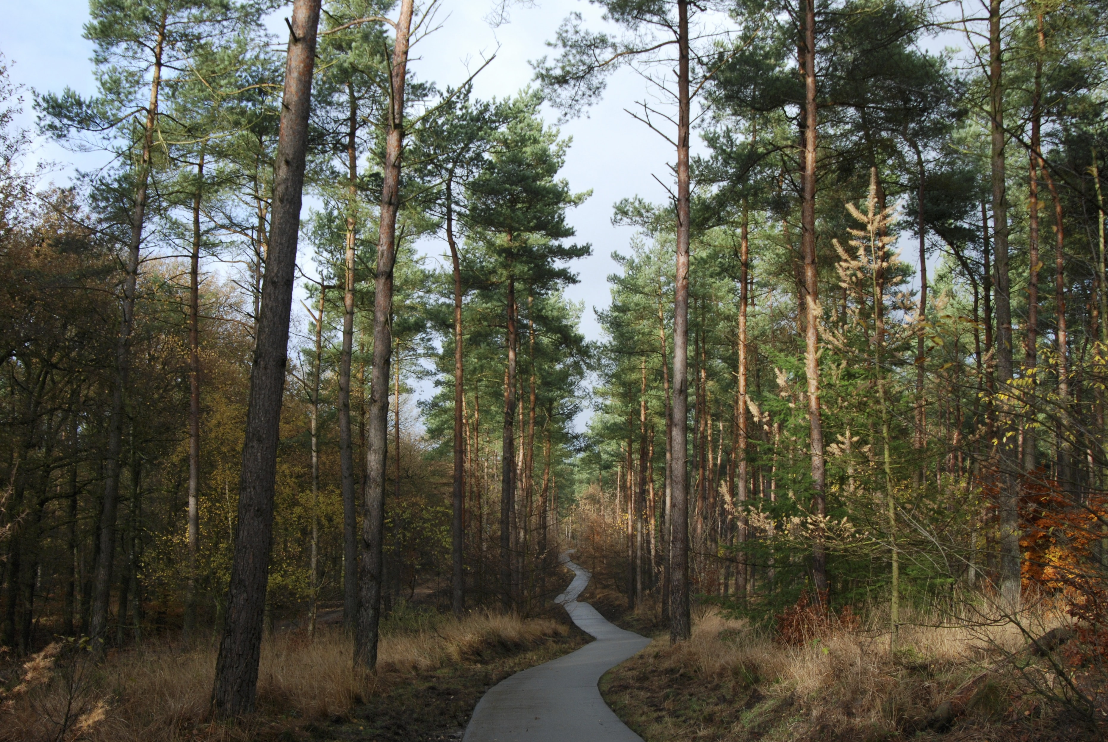 A narrow pathway winding through a pine forest