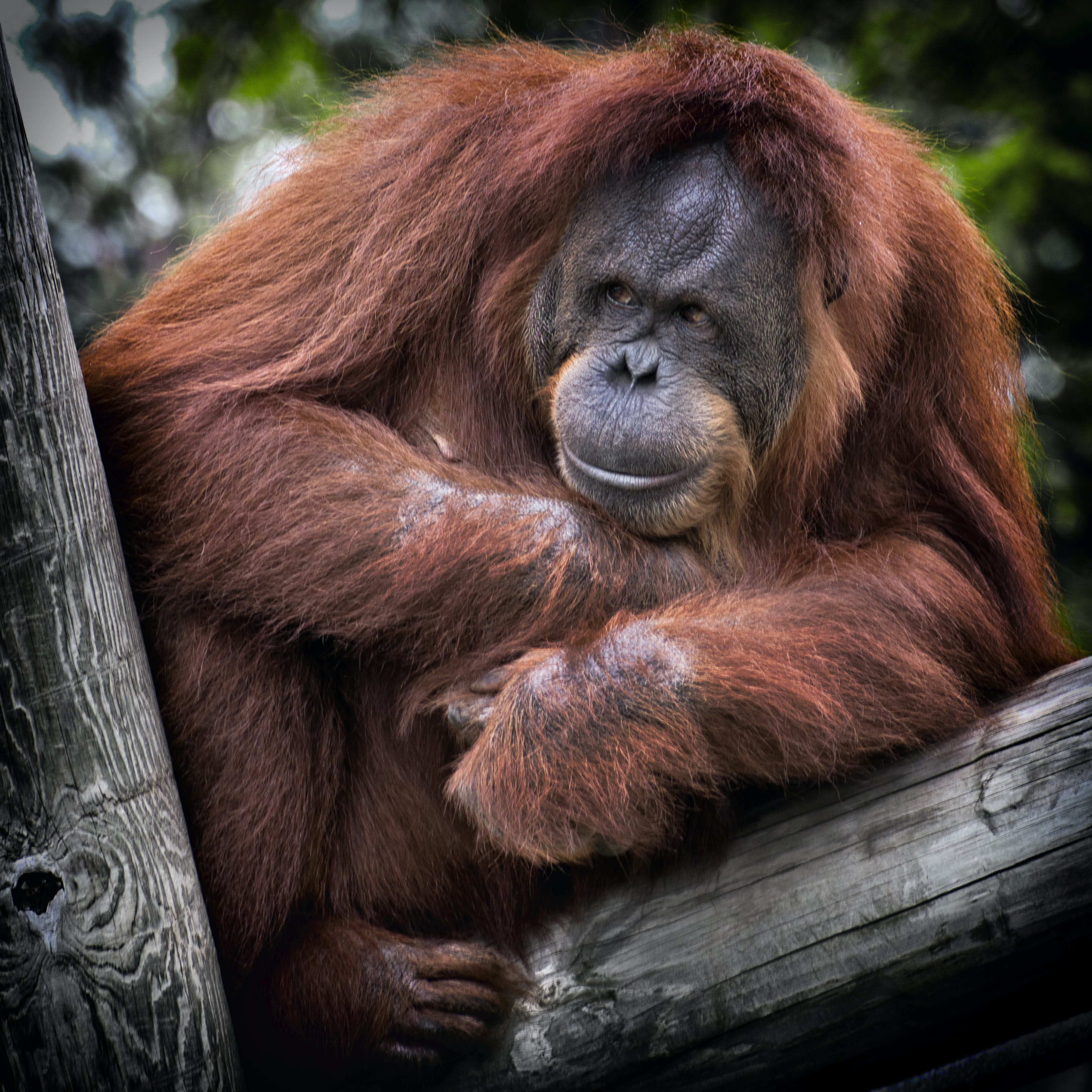 Orangutan balanced up on a tree clutching something at his chest