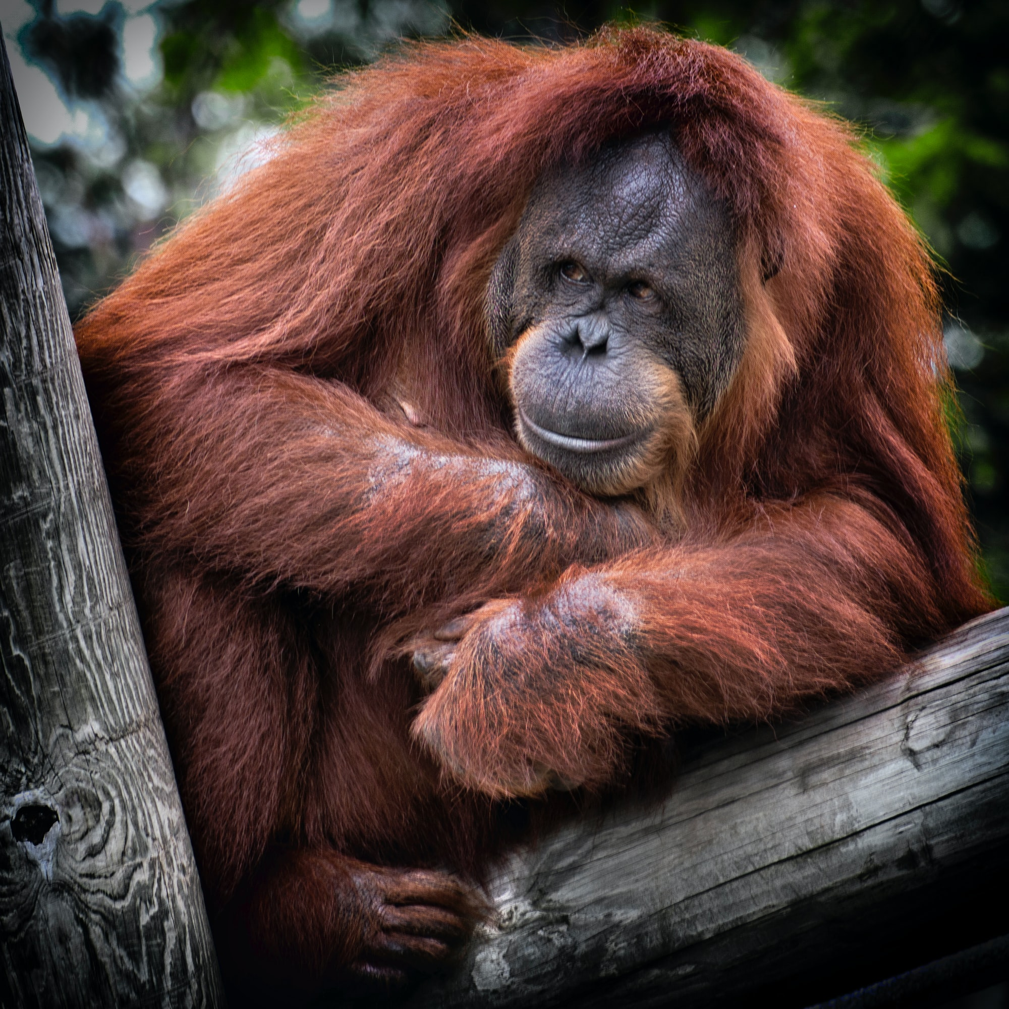 Orangutan on a tree