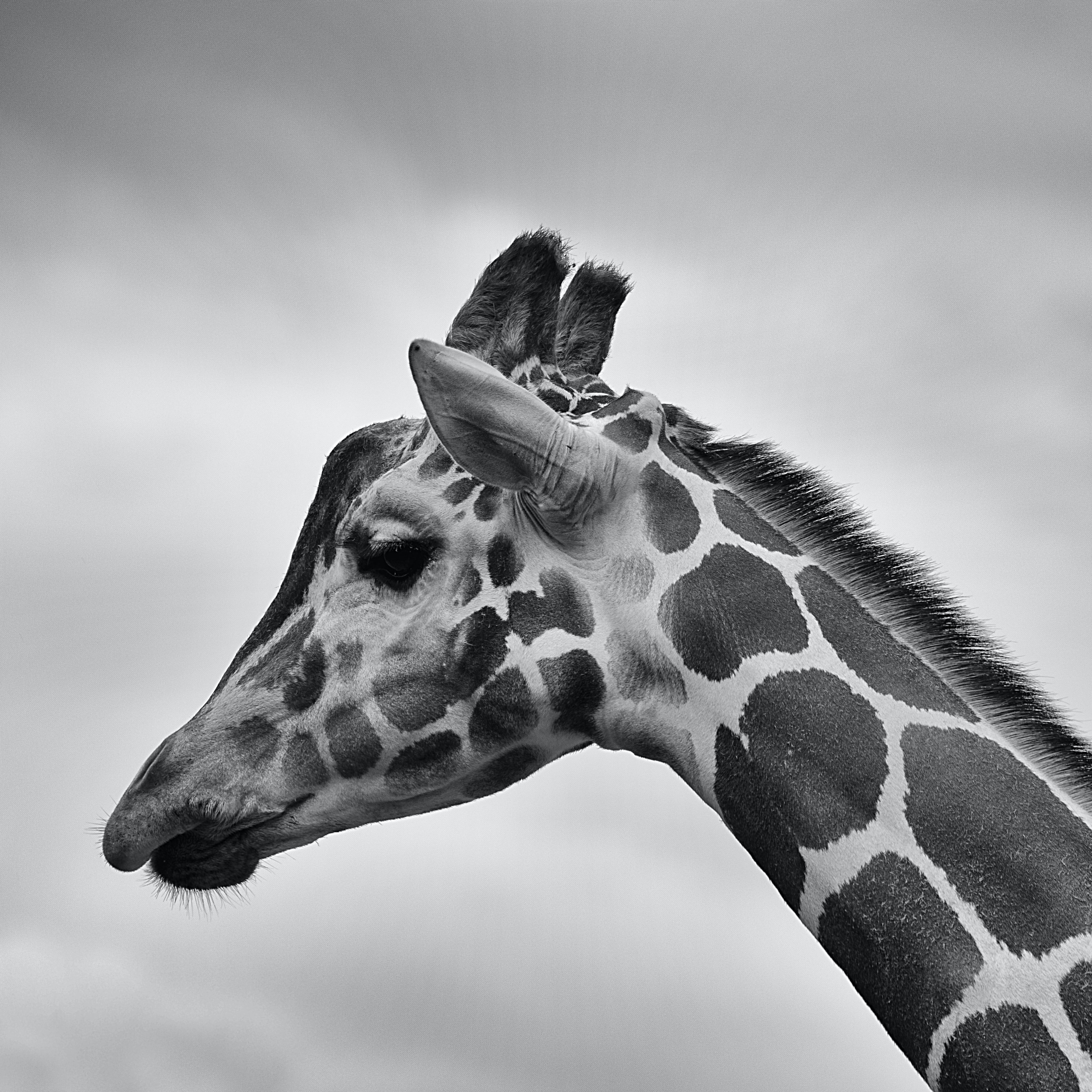 A thoughtful black-and-white photo of a giraffe's head