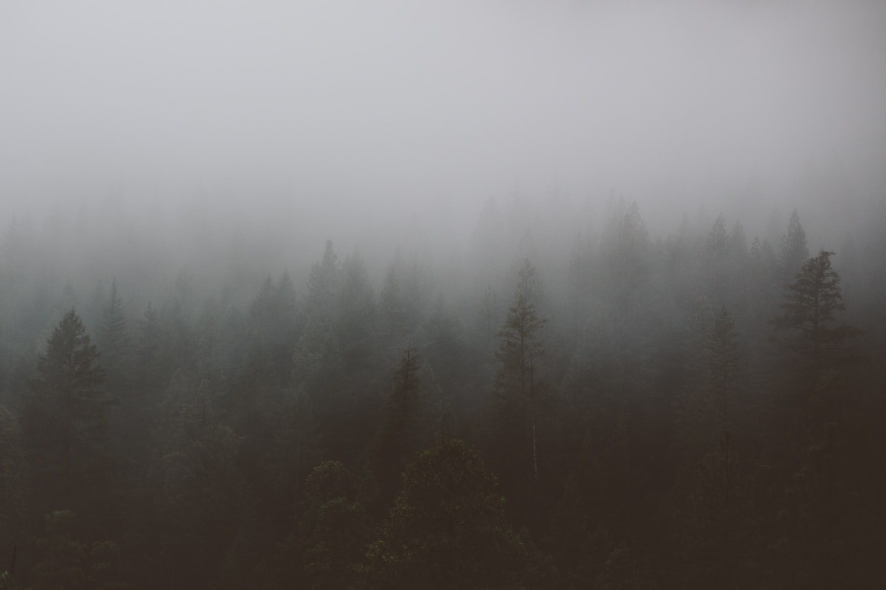 A gloomy shot of a dark evergreen forest shrouded in a thick gray mist