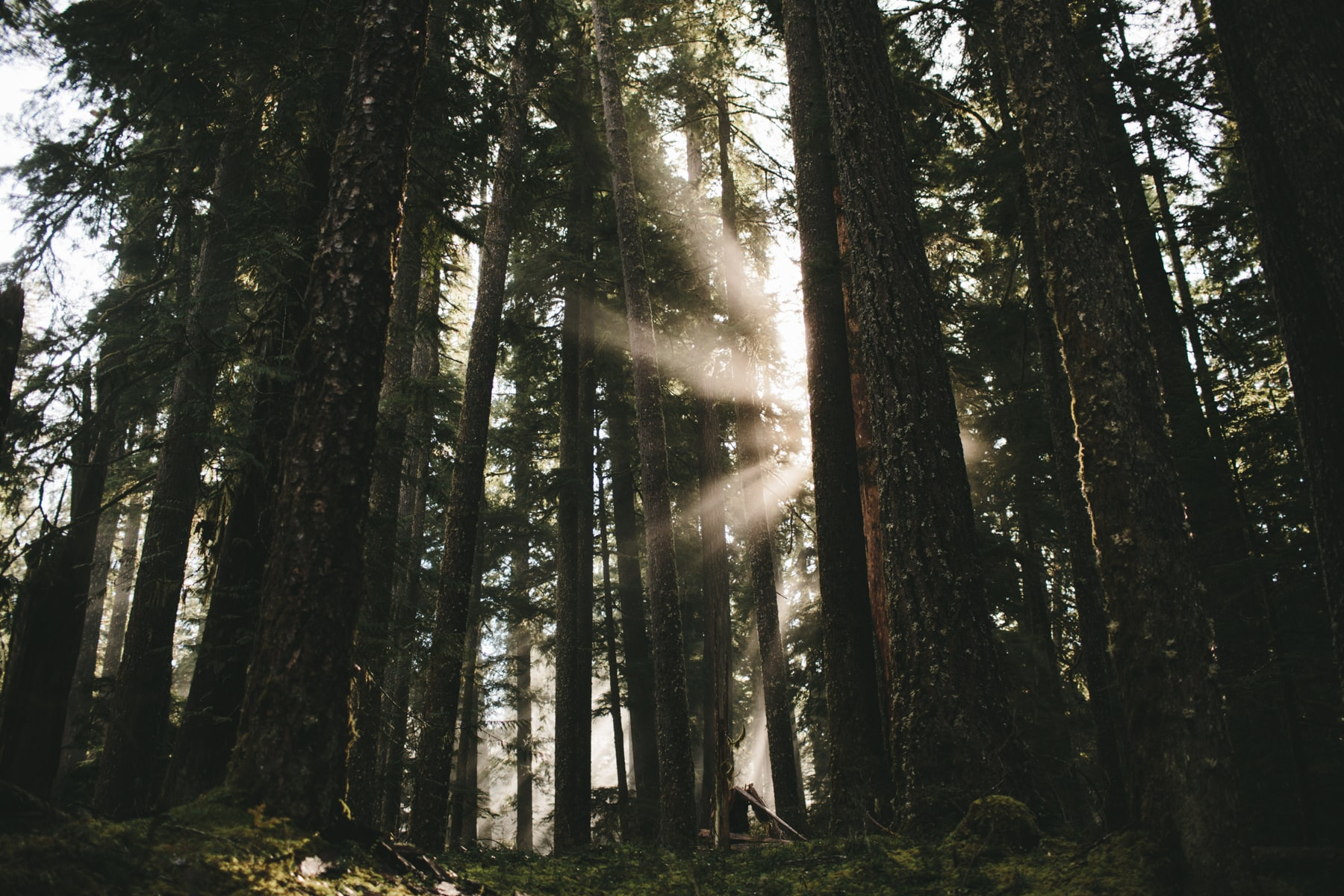 Sun rays shining through tall trees in a forest.