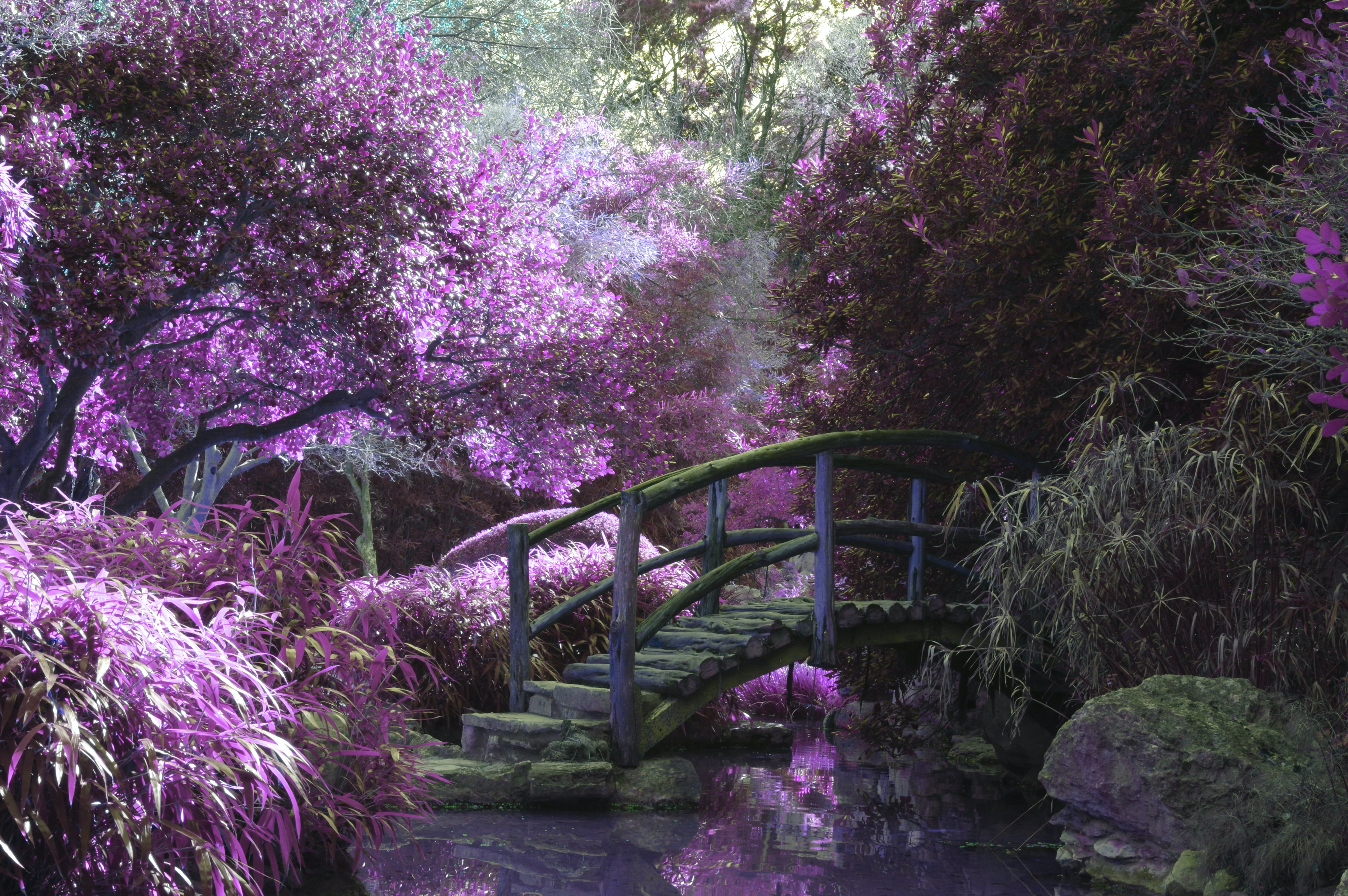 A magnificent garden with a wooden bridge among purple-flowered trees and grasses