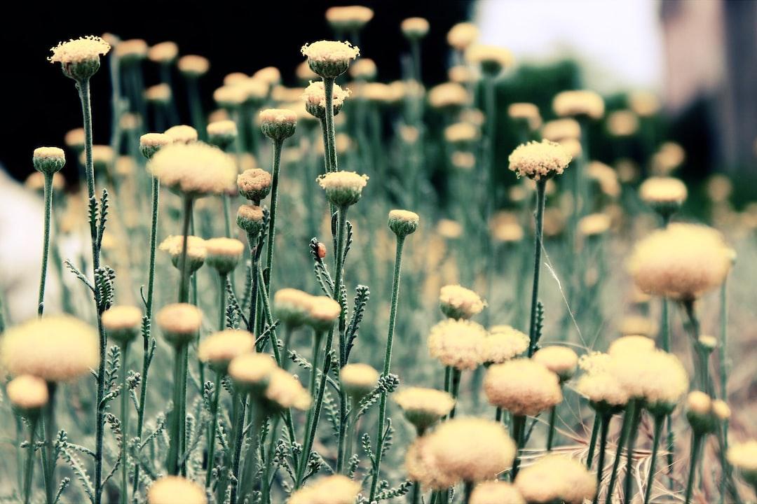 Pale dandelions