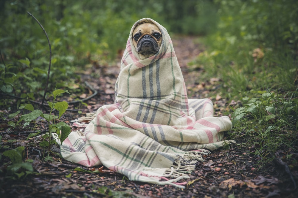 A pug tightly wrapped in a plaid blanket sitting on the forest floor