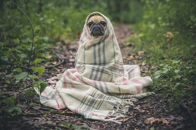 fawn pug covered by burberry textile between plants cold zoom background