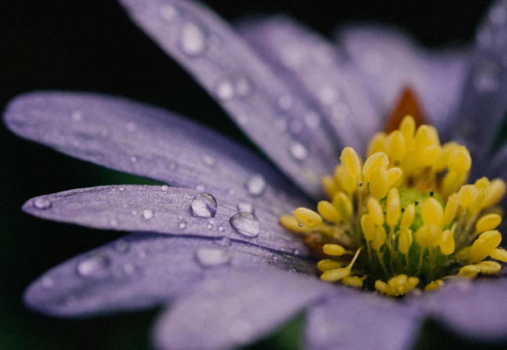 closeup photo of purple and yellow petaled flower