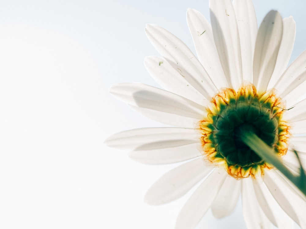 low-angle photo of white daisy