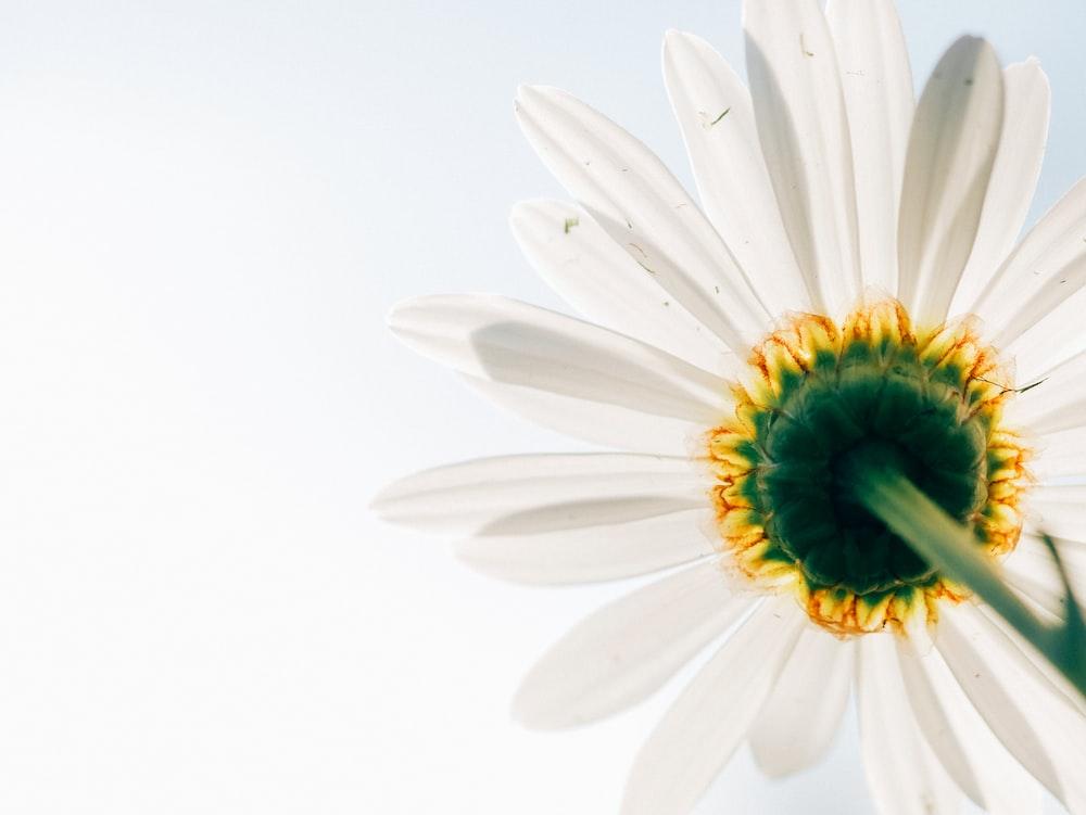 low-angle photo of white daisy
