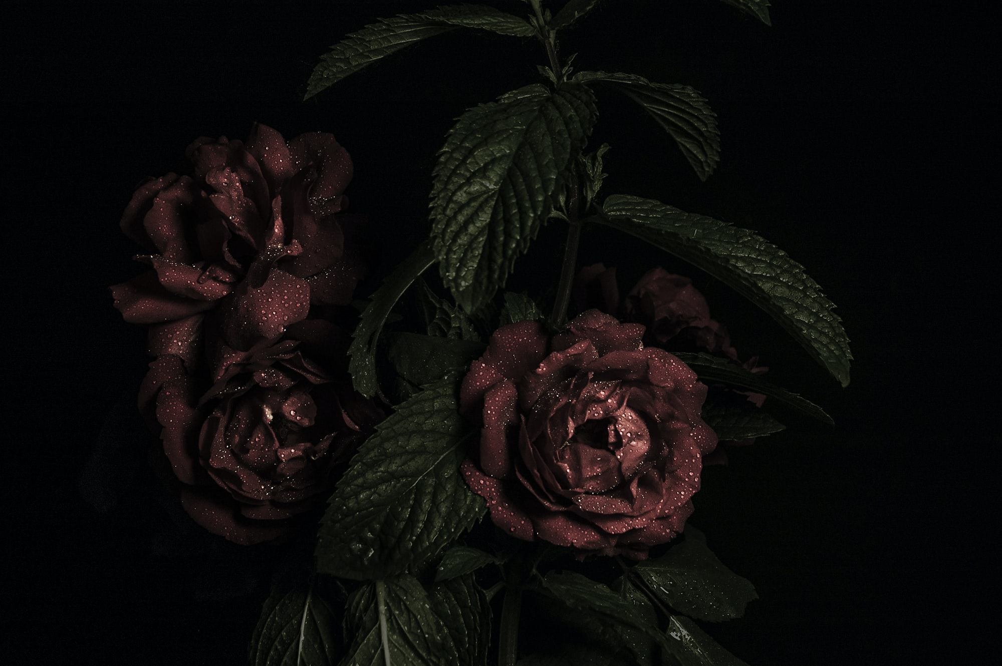 A dim shot of dark red roses covered in water droplets