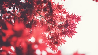 selective focus photography of maple tree