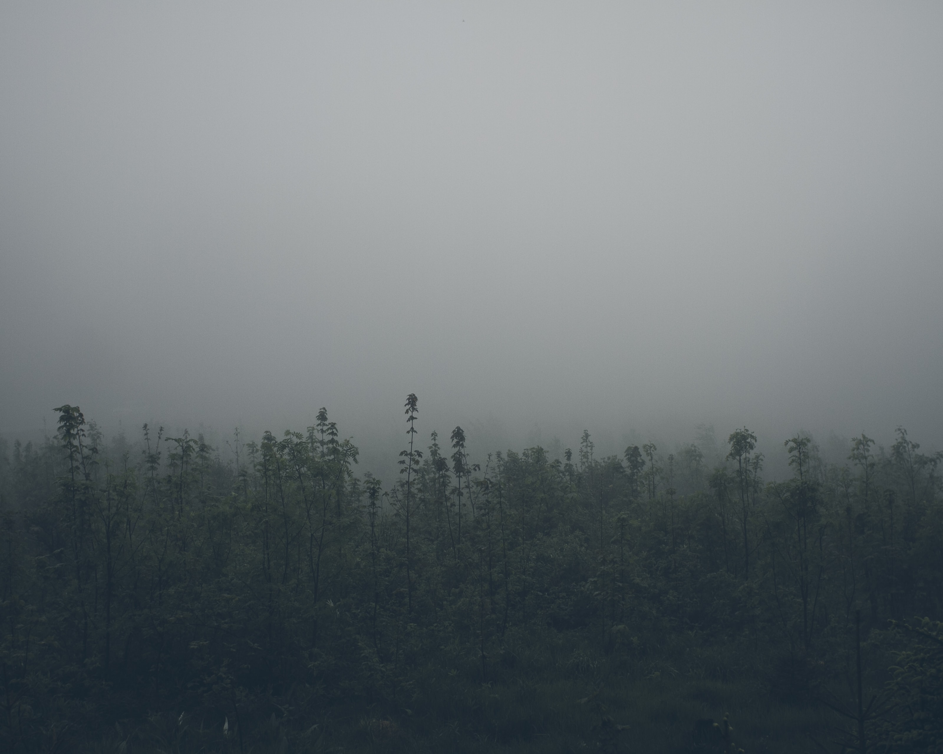 Thick fog over the treetops in a forest