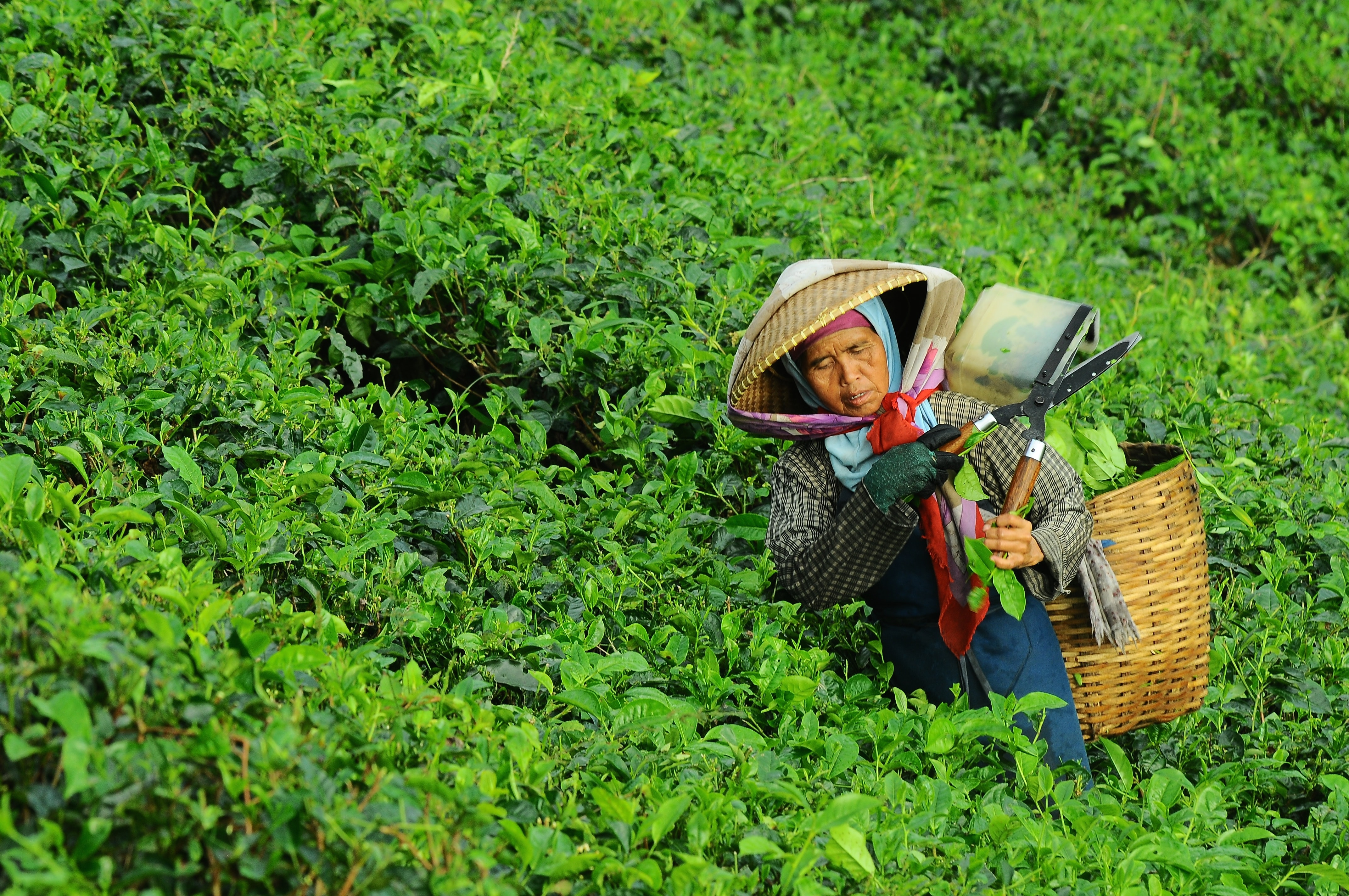 A woman works in a field, collecting tea leaves while wearing a hat and protective clothing