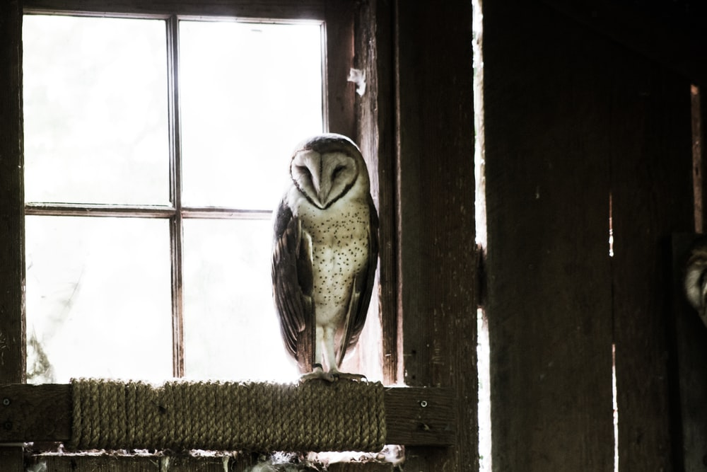 grey and black barn owl near glass window during daytime