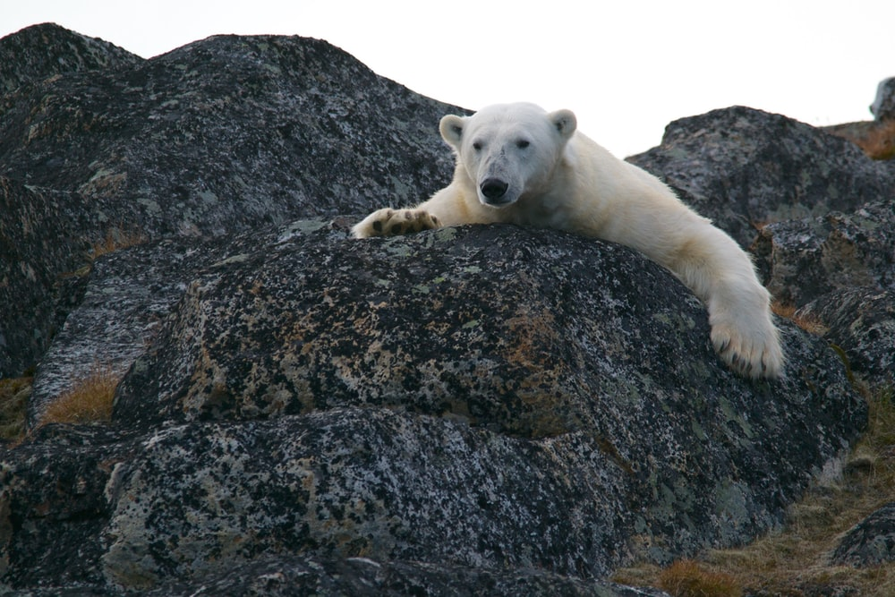 white bear on black rocks during daytime