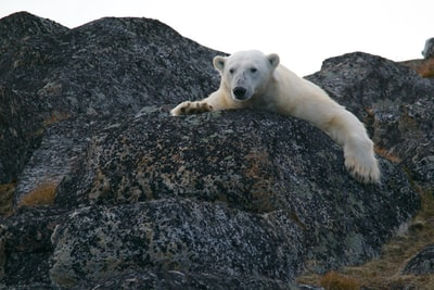Confirming the dire consequences of failing to address the issue head on, the World Wildlife Fund announced Monday that polar bears will die from global warming...