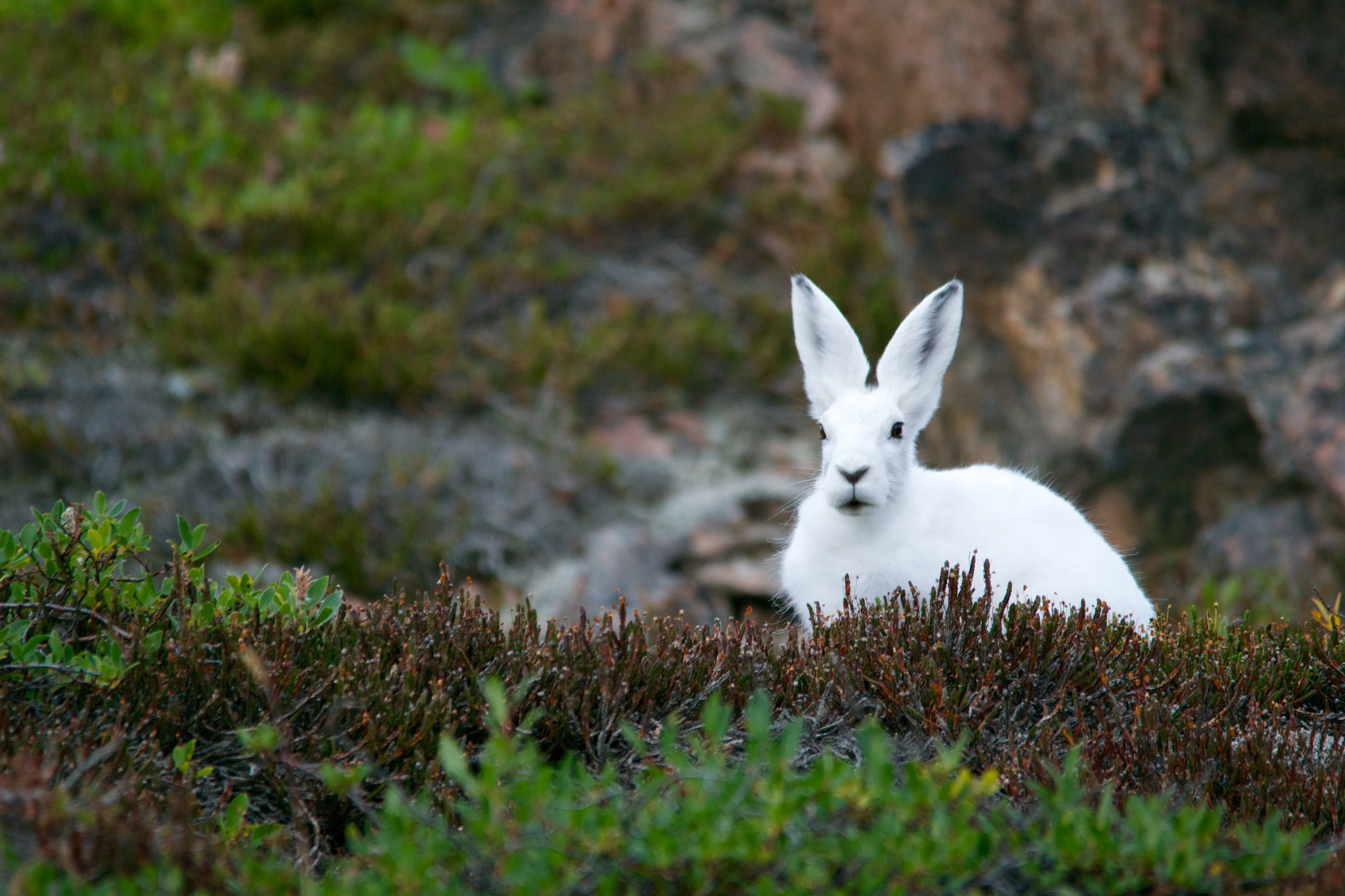A white rabbit sitting on thick grass in a rocky environment