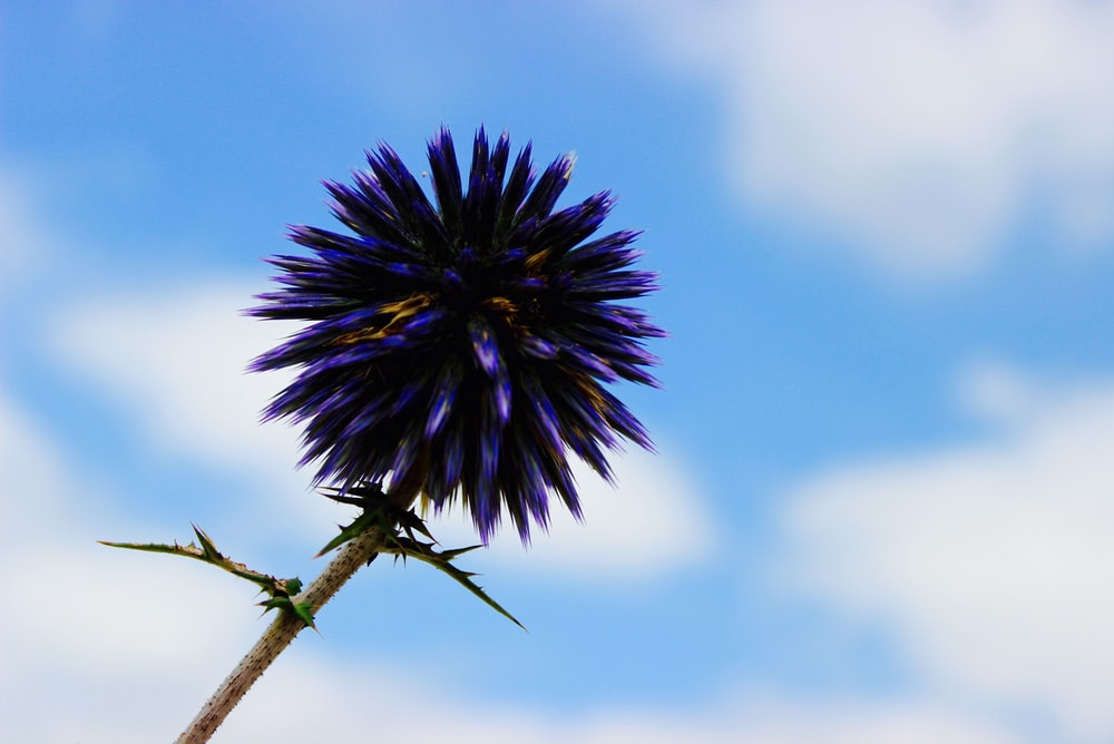 selective focus photography of blue petaled flower under blue and white cloudy skies