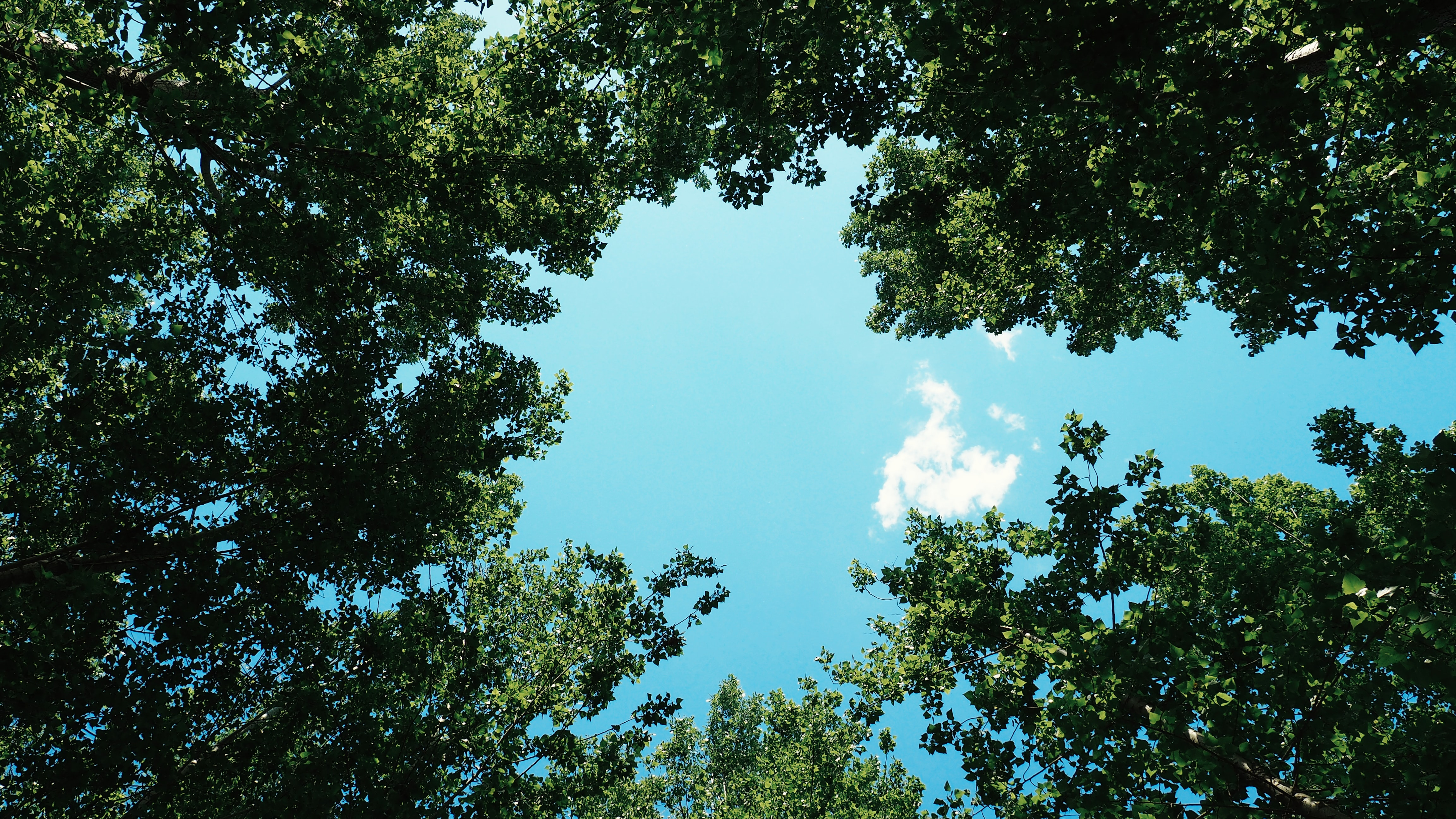 A low-angle shot of a green leaf canopy against a blue sky