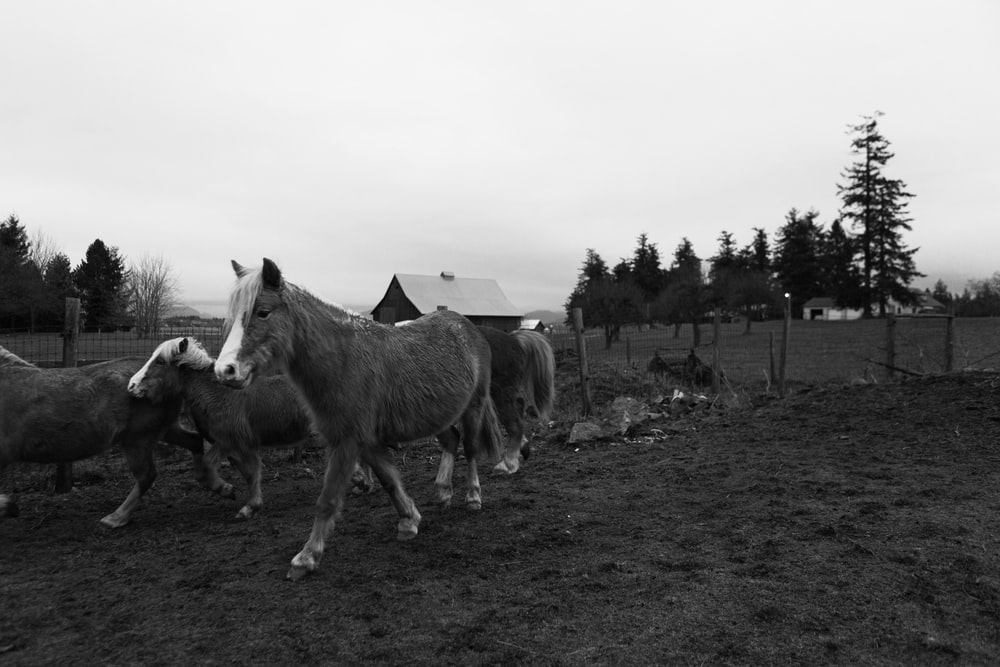grayscale photo of horses on grass field