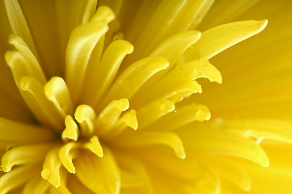 Yellow flower pictures hq download free images on unsplash a macro shot of dewdrops on long yellow flower petals mightylinksfo