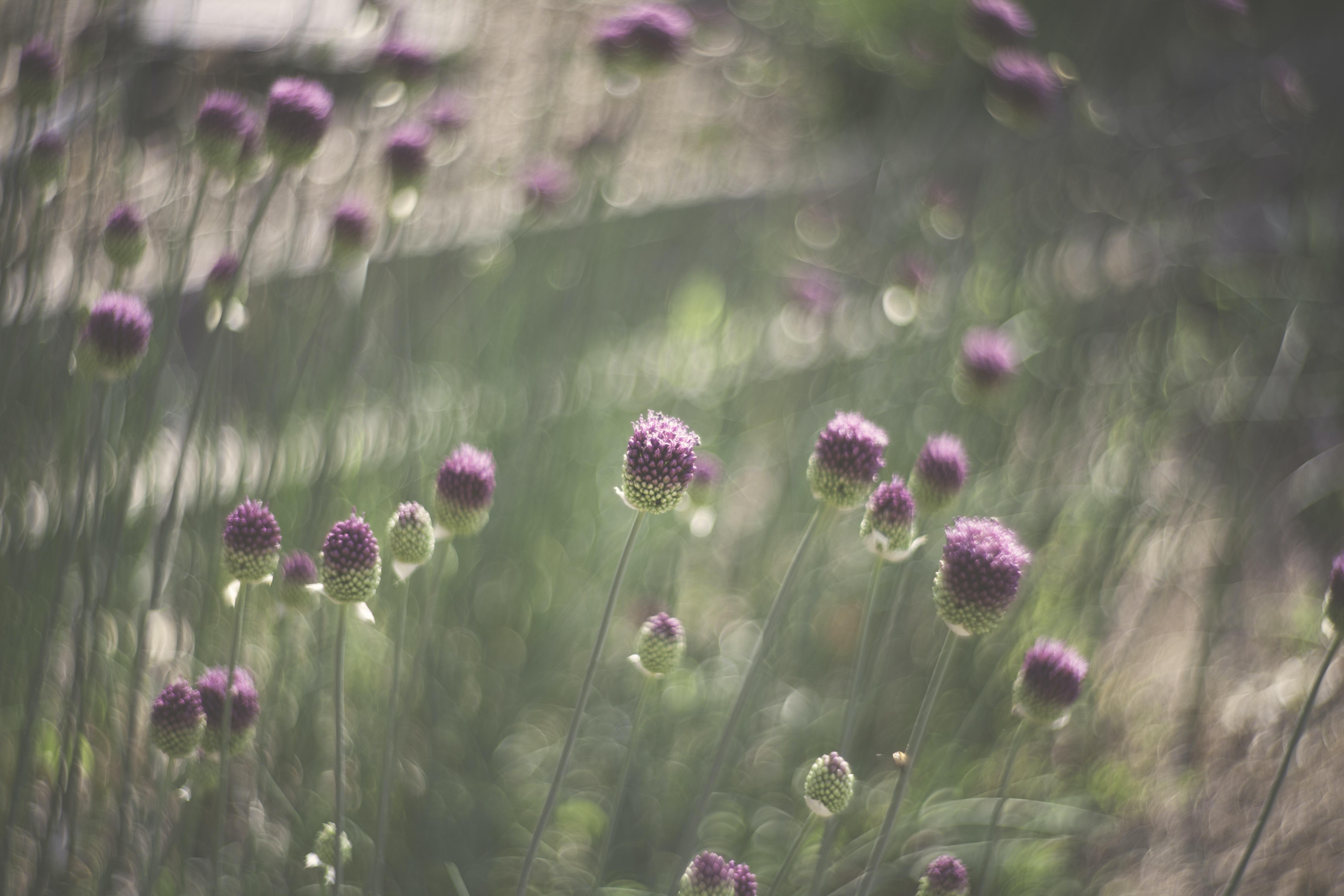 tilt shift lens photography of pink flowers
