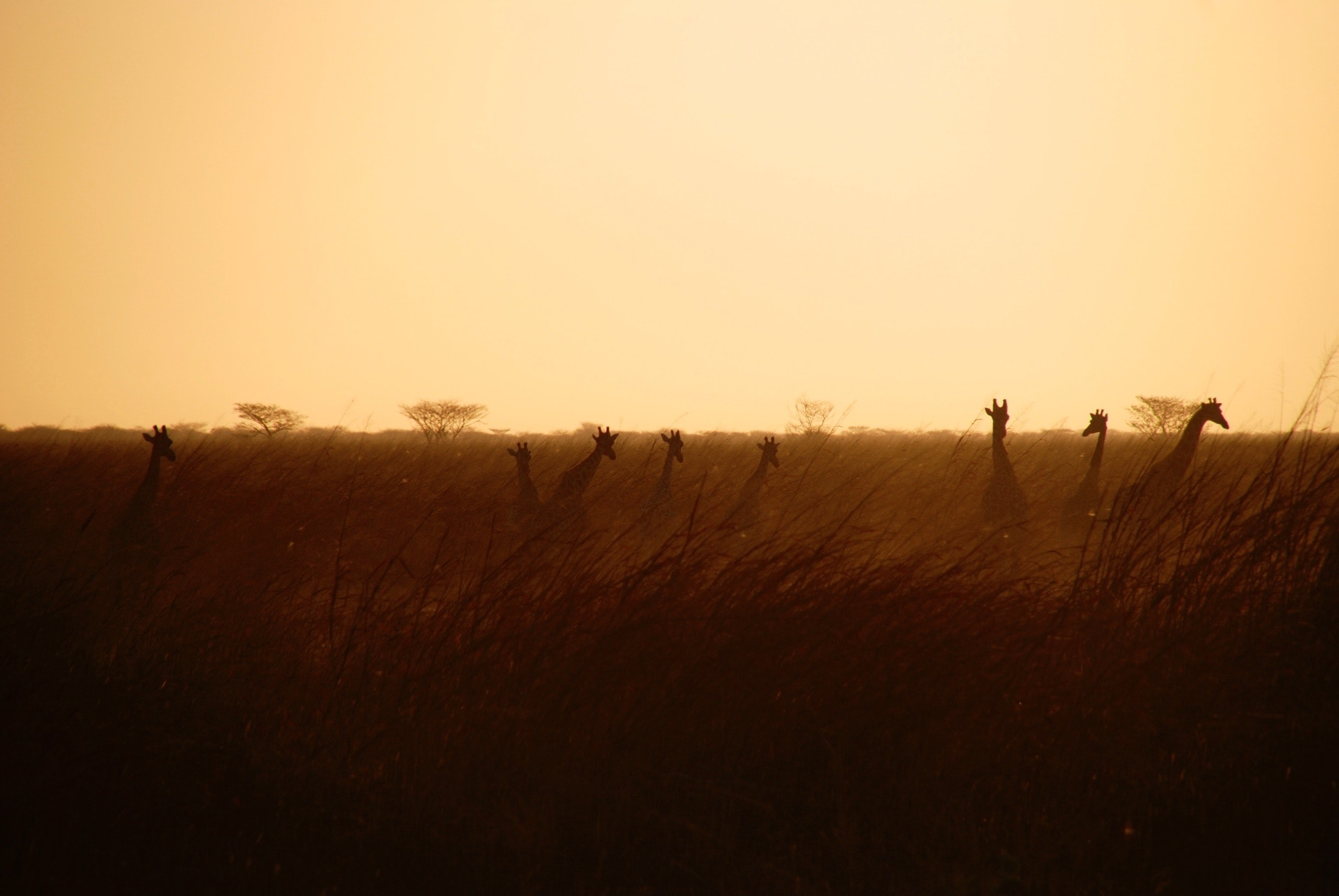 Silhouettes of giraffes in tall grass during sunset