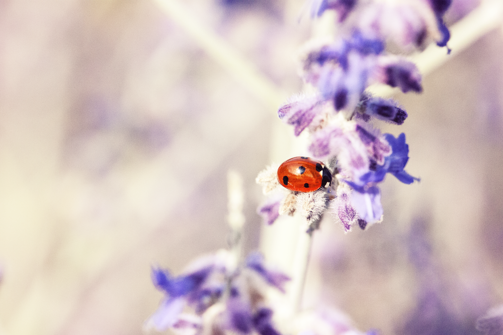 red and black seven-spot ladybird perched on purple petaled flower selective focus photography