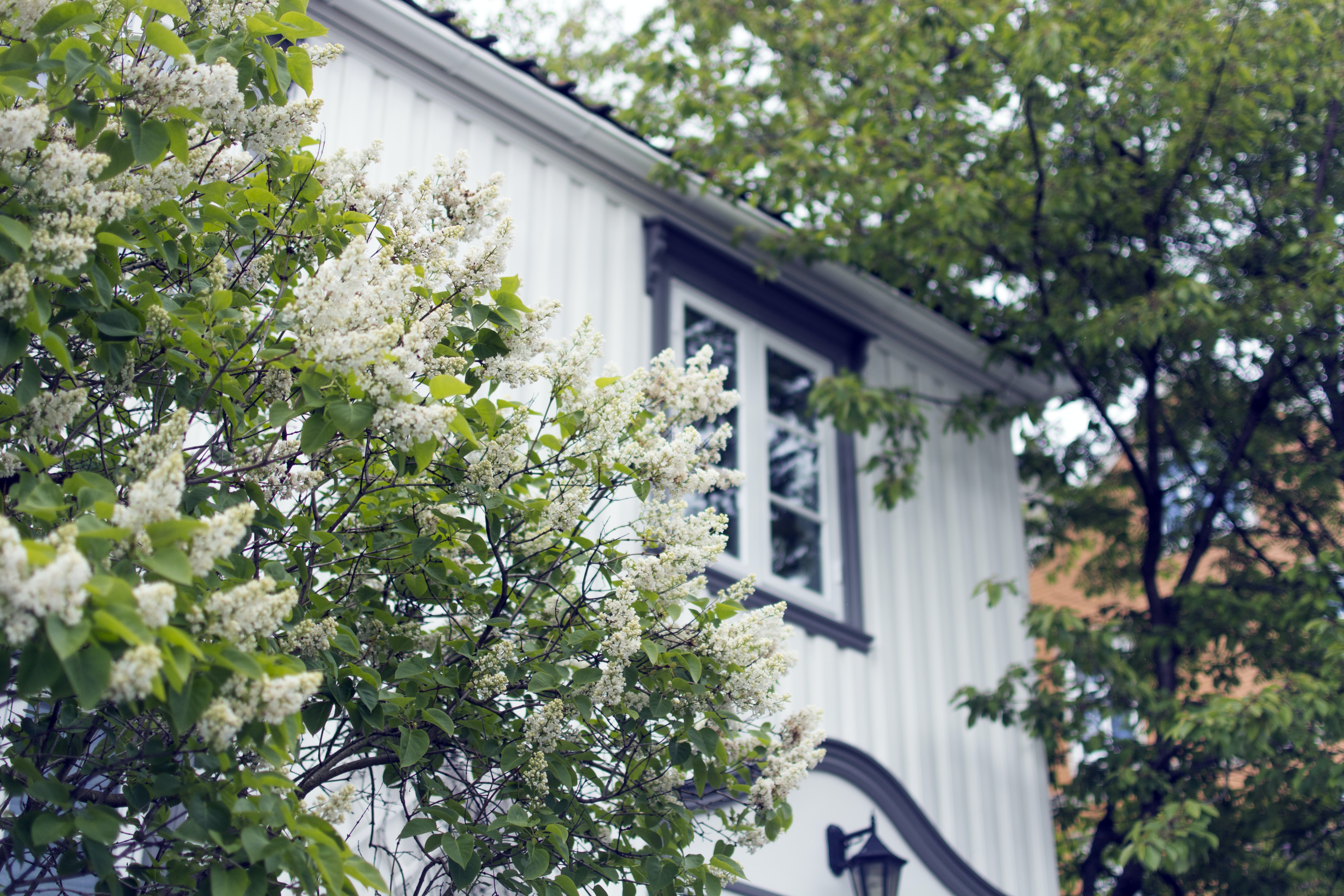 photo of white flowers beside white and blue house