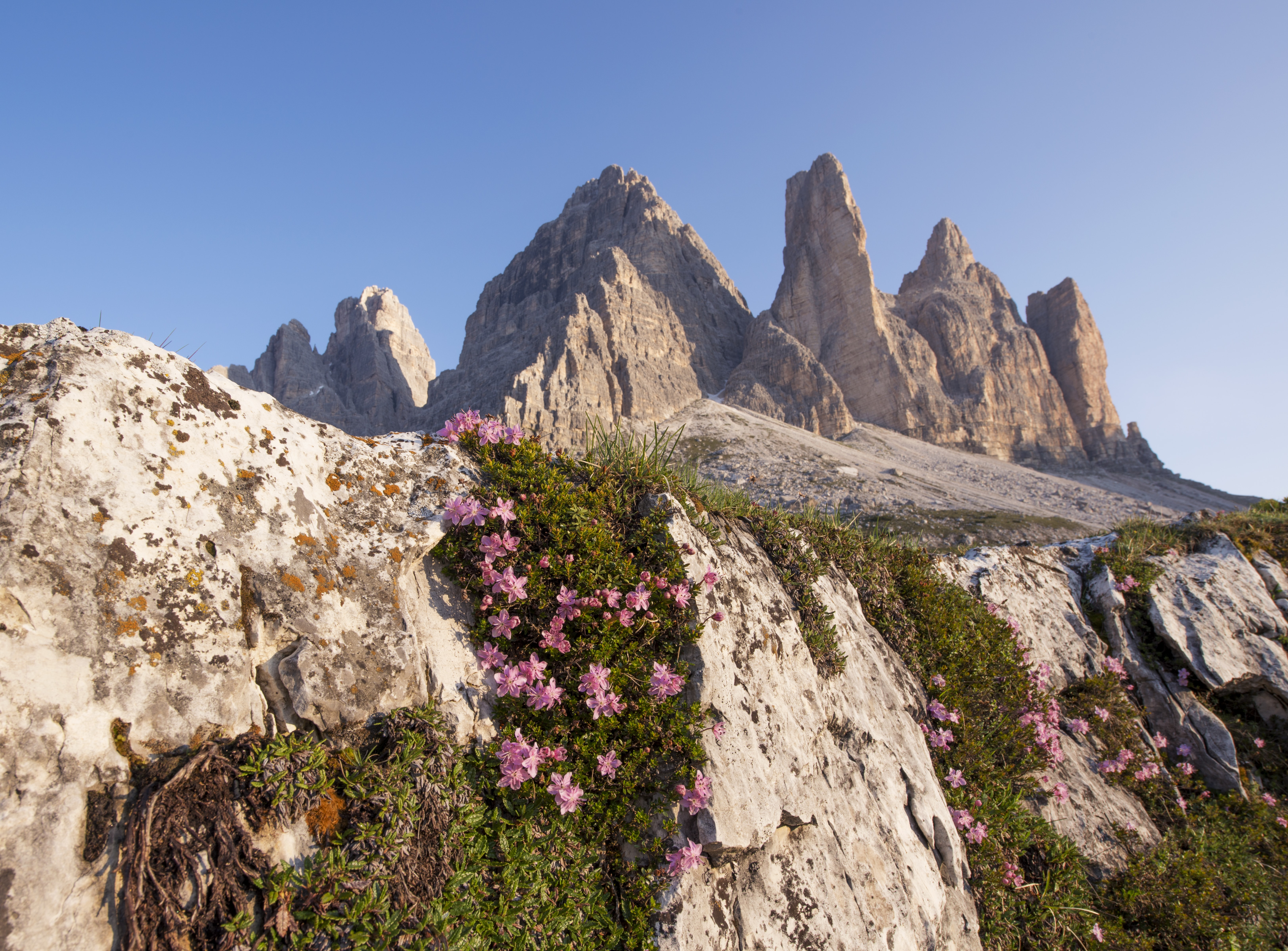 Pink flowers climbing up a rocky face in the mountains