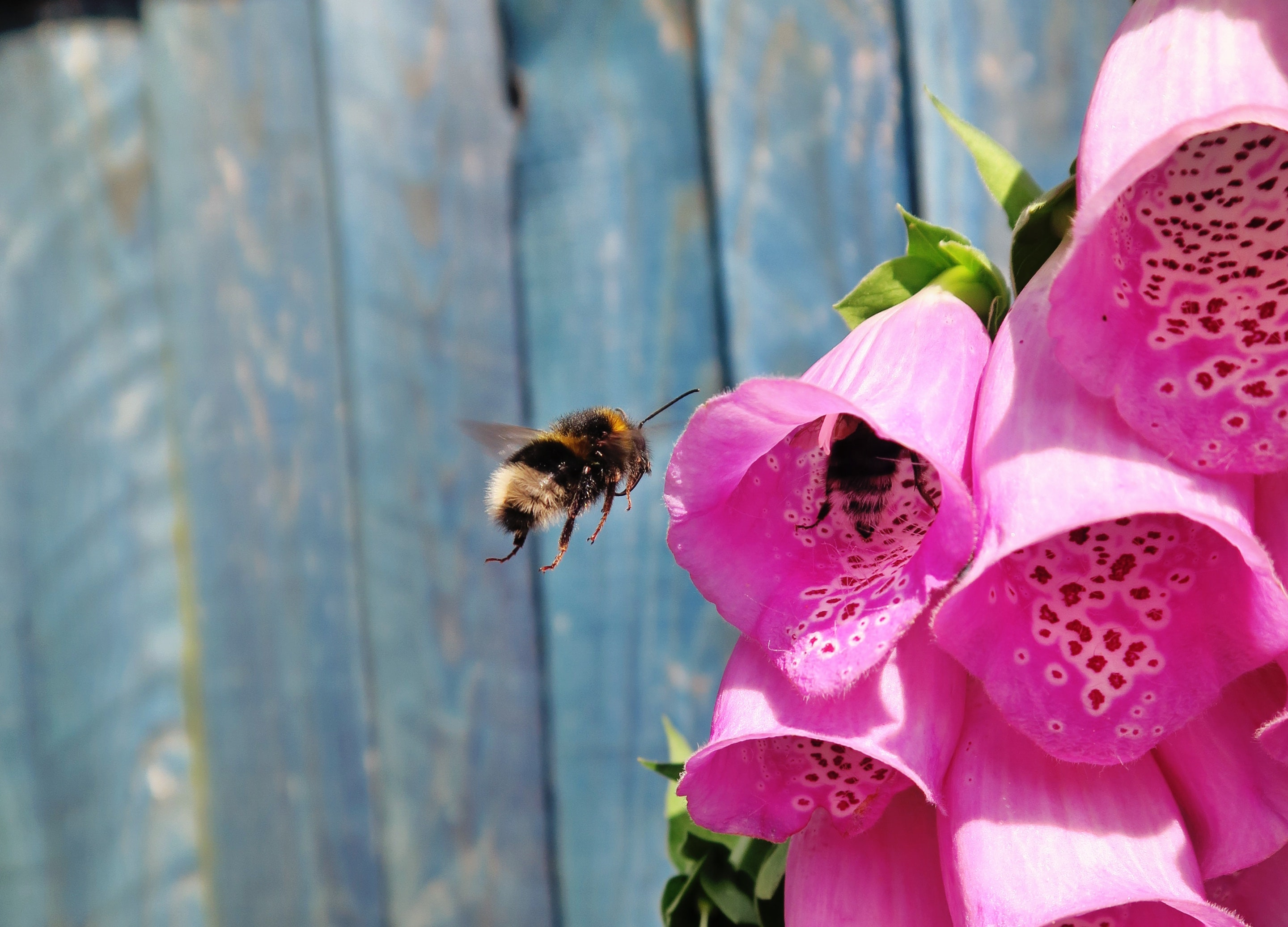 A bee hovering in the air next to pink foxglove flowers