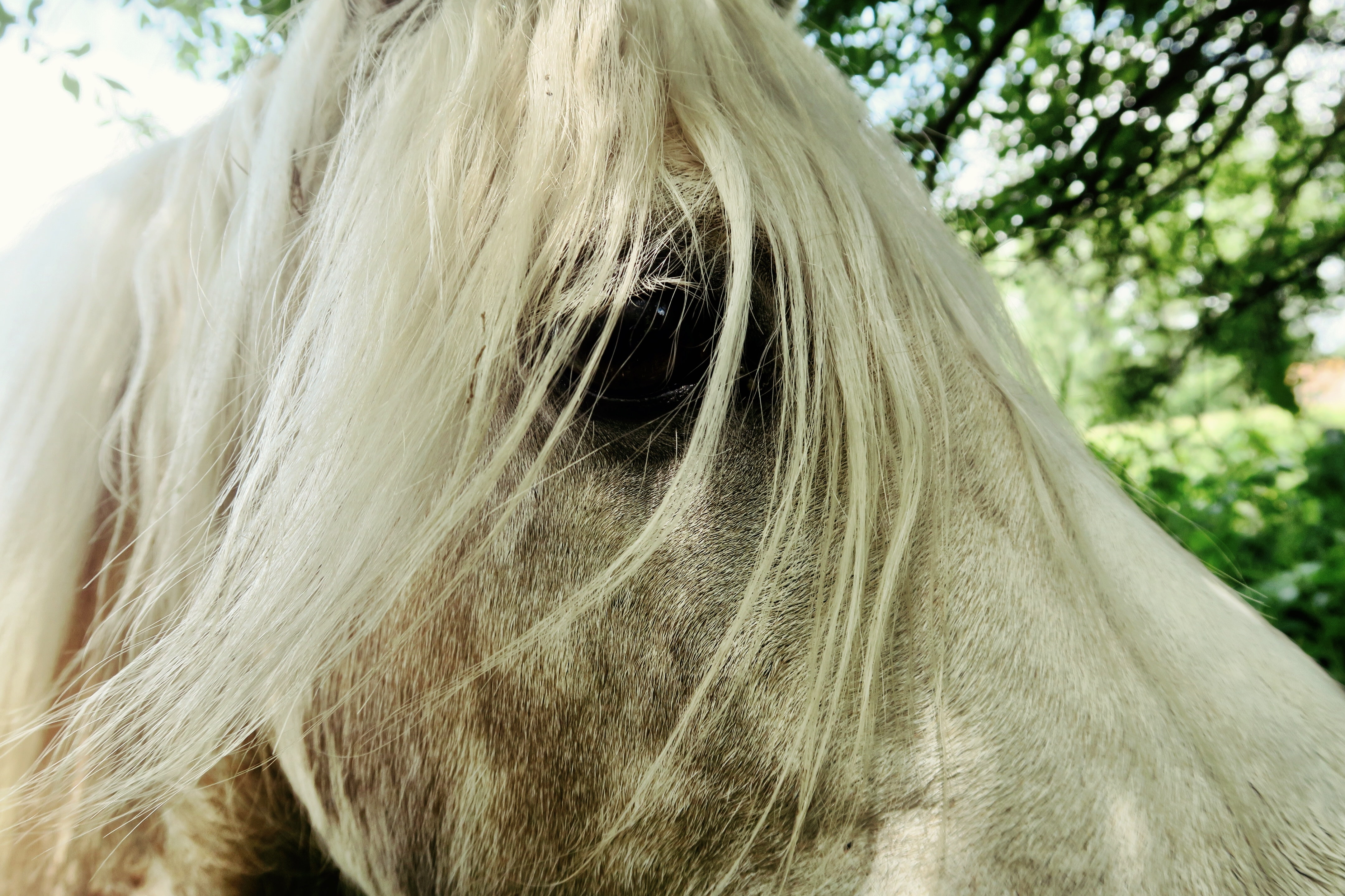 A close-up of a horse's eye partly covered by its flaxen mane