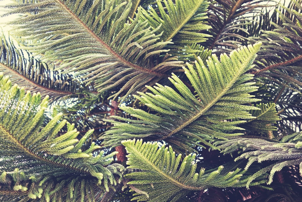 closeup photography of green pine tree