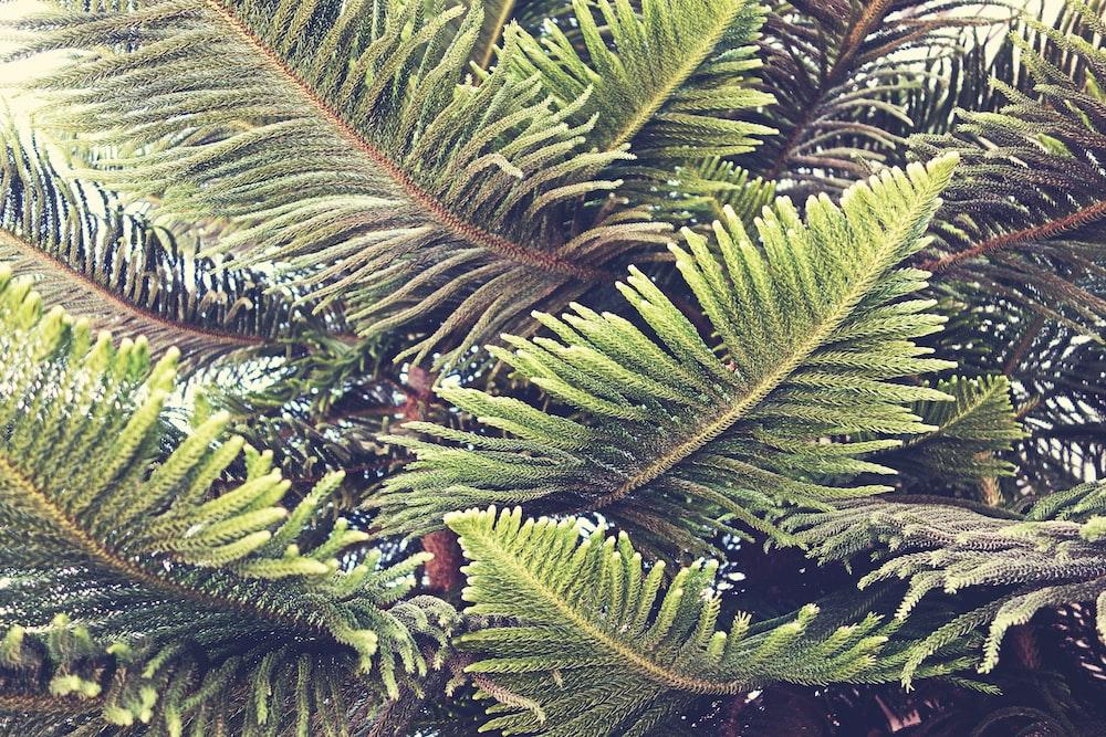 closeup photography of green pine tree