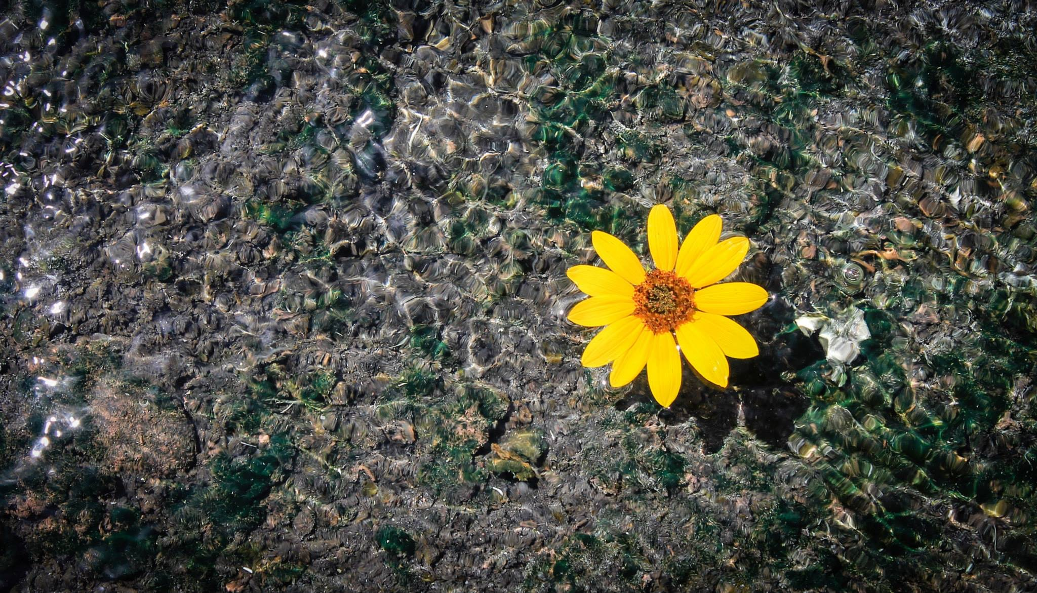 A yellow flower floating on the clear surface of water