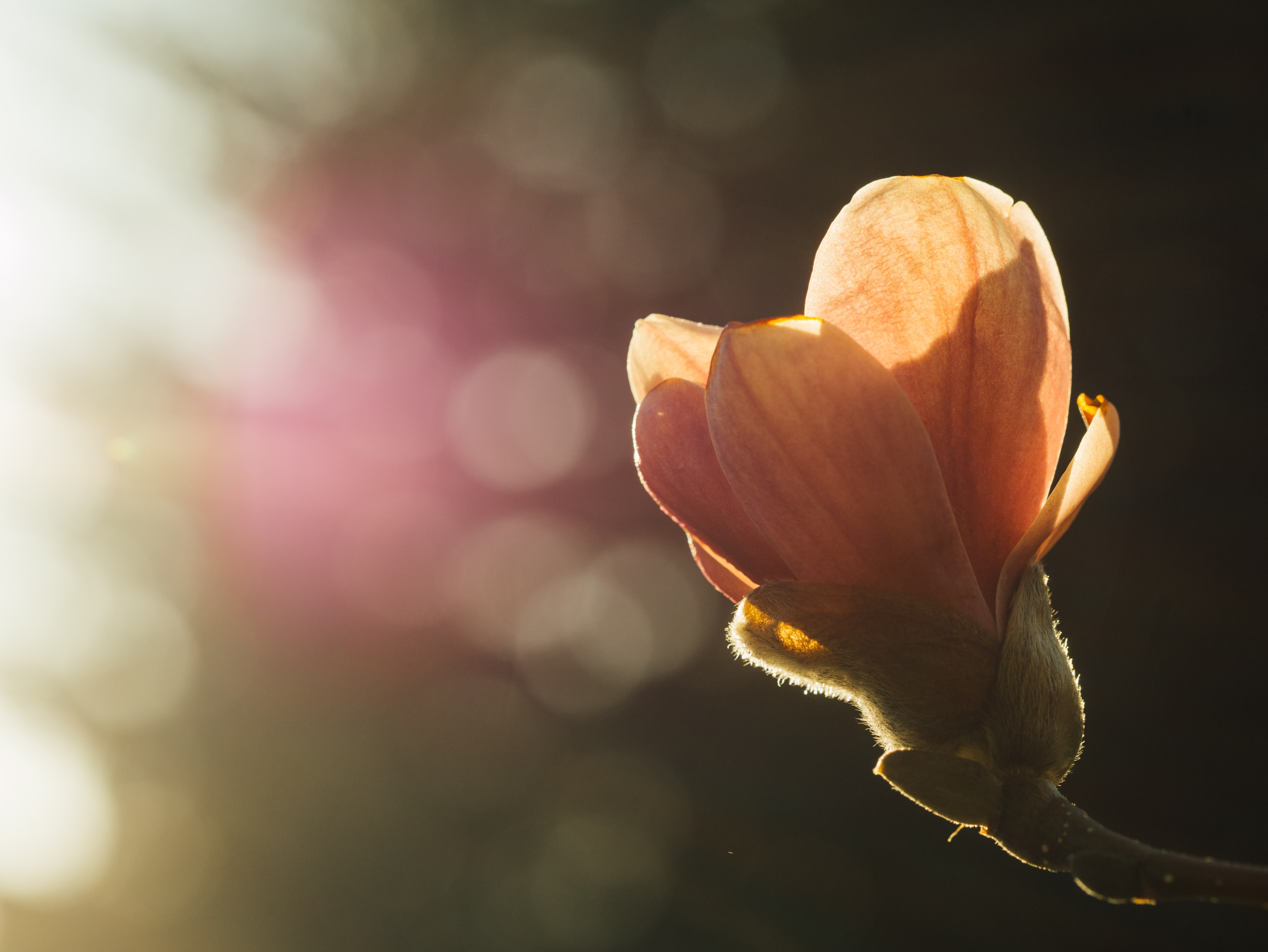 Close up of yellow flower bud and out of focus background in Spring sunlight