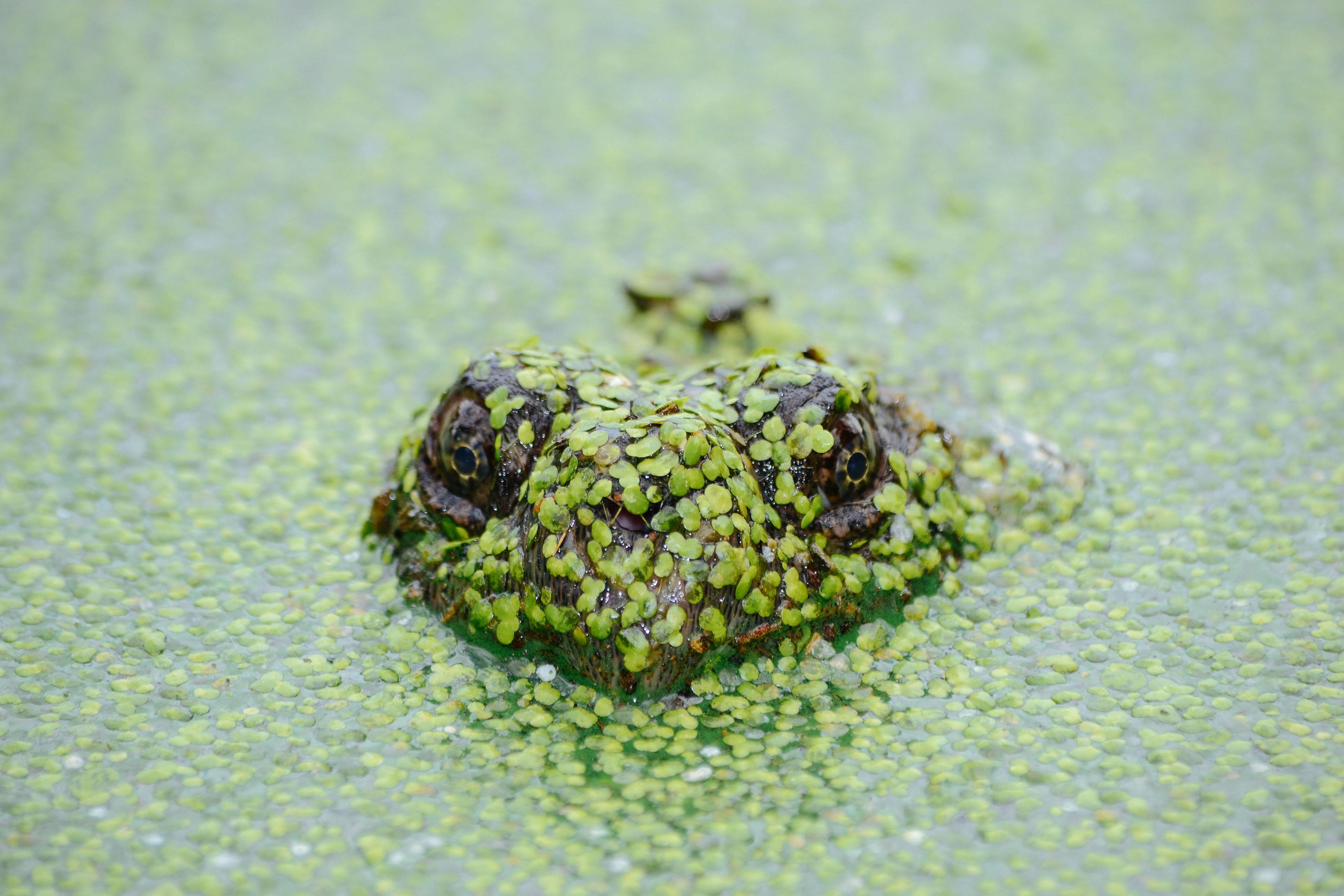 frog soak on water