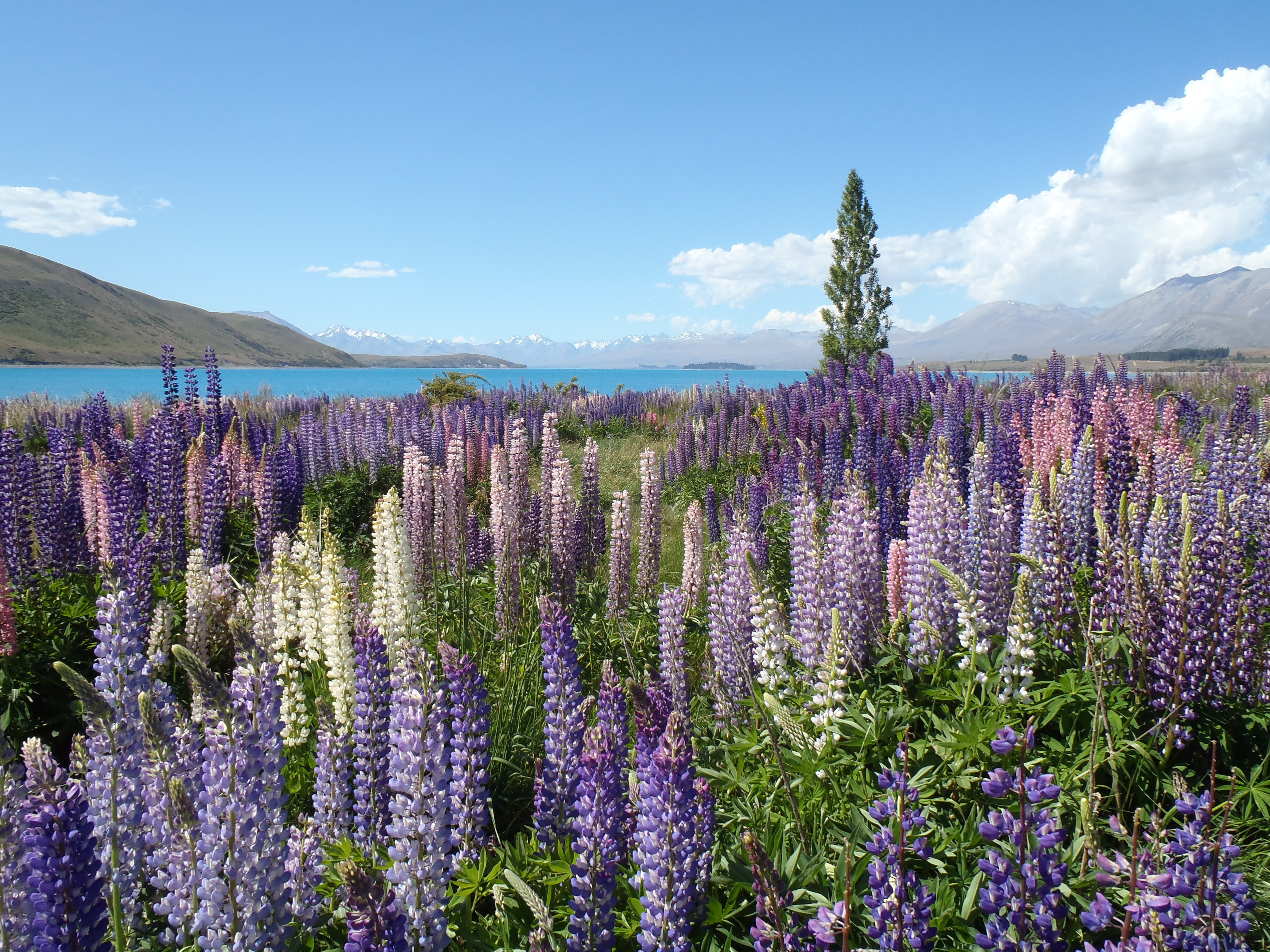 Tall lupine flowers in a meadow by a blue mountain lake
