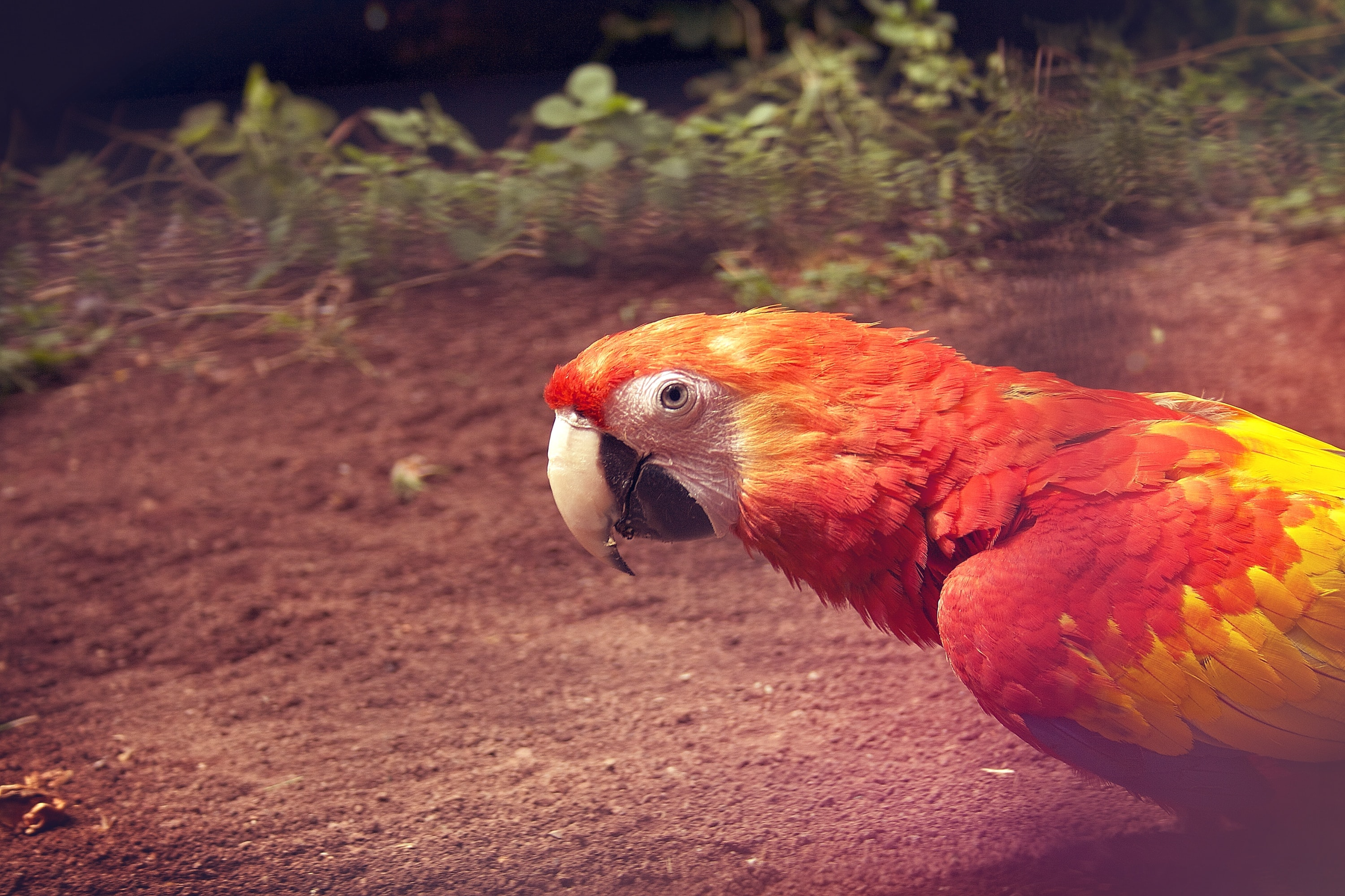 closeup photography of yellow and red parrot on brown soil
