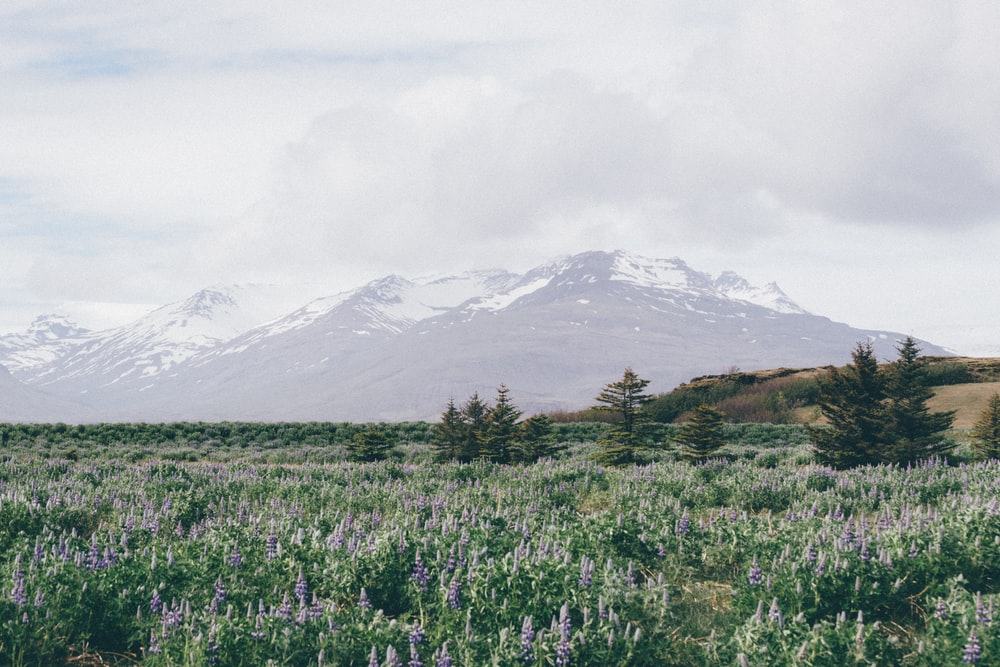 landscape photography of field of plants in front of mountain alps