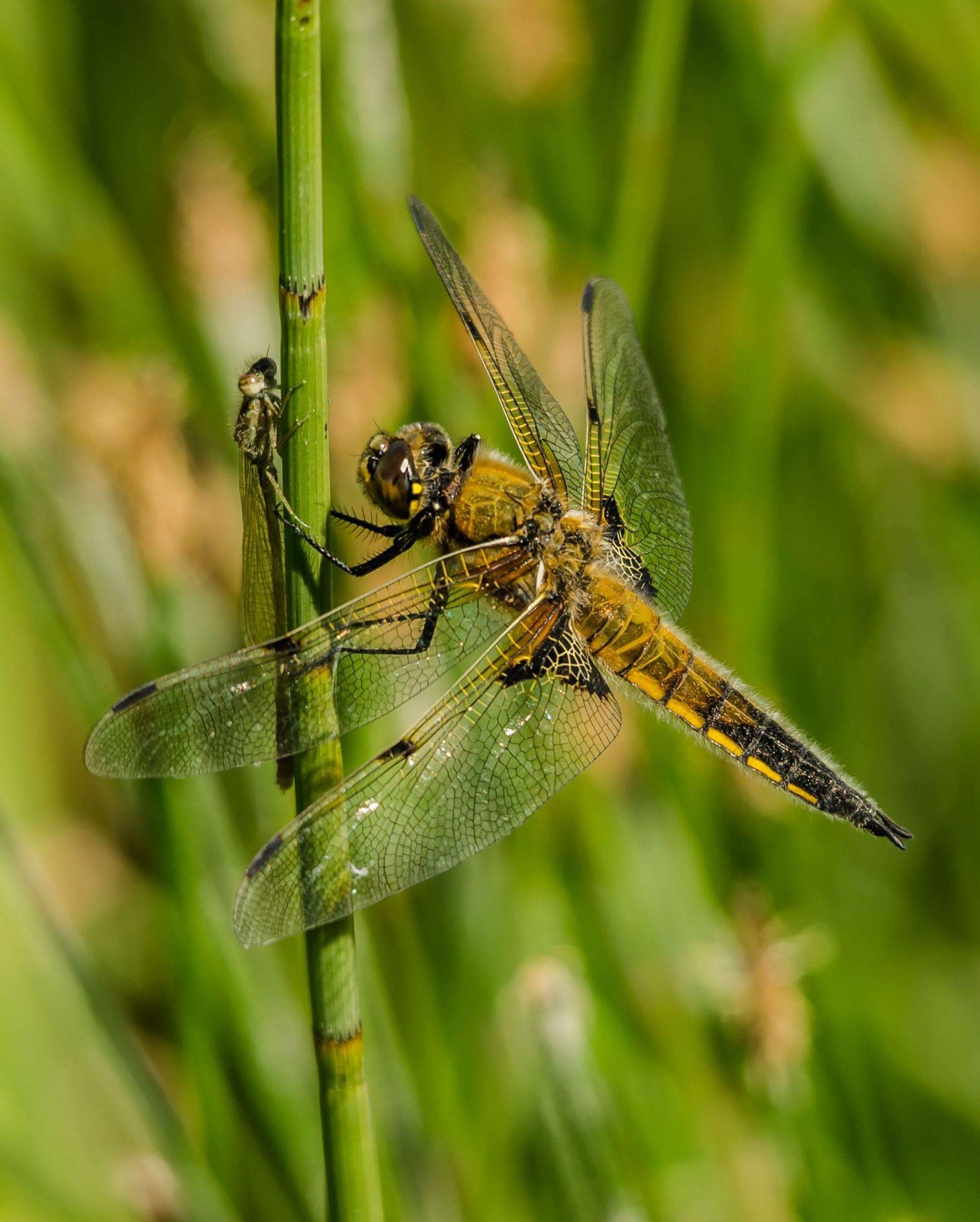 Dragonfly lands on tall green stem