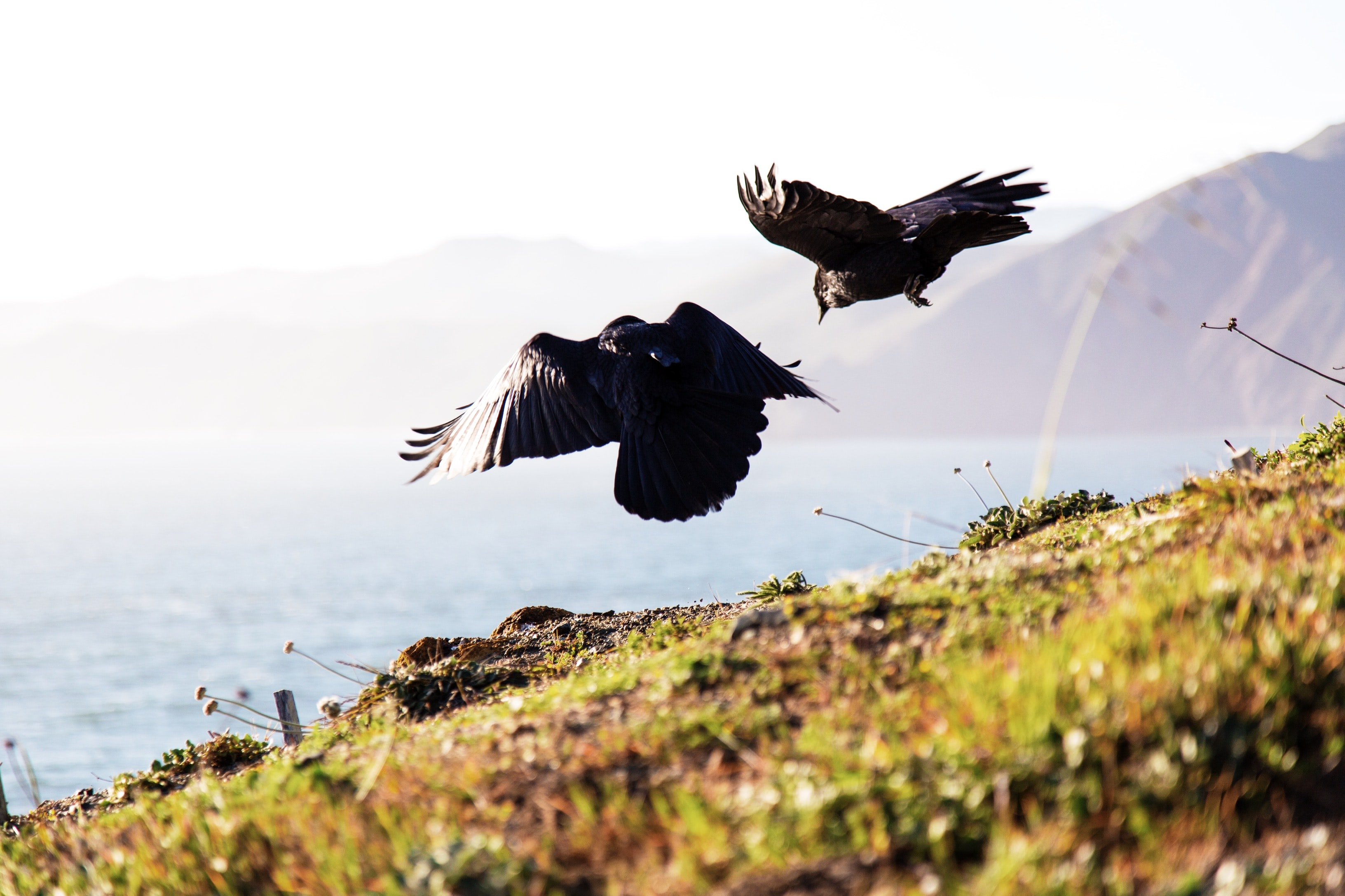 A pair of black birds flies above a grassy hill overlooking a body of water