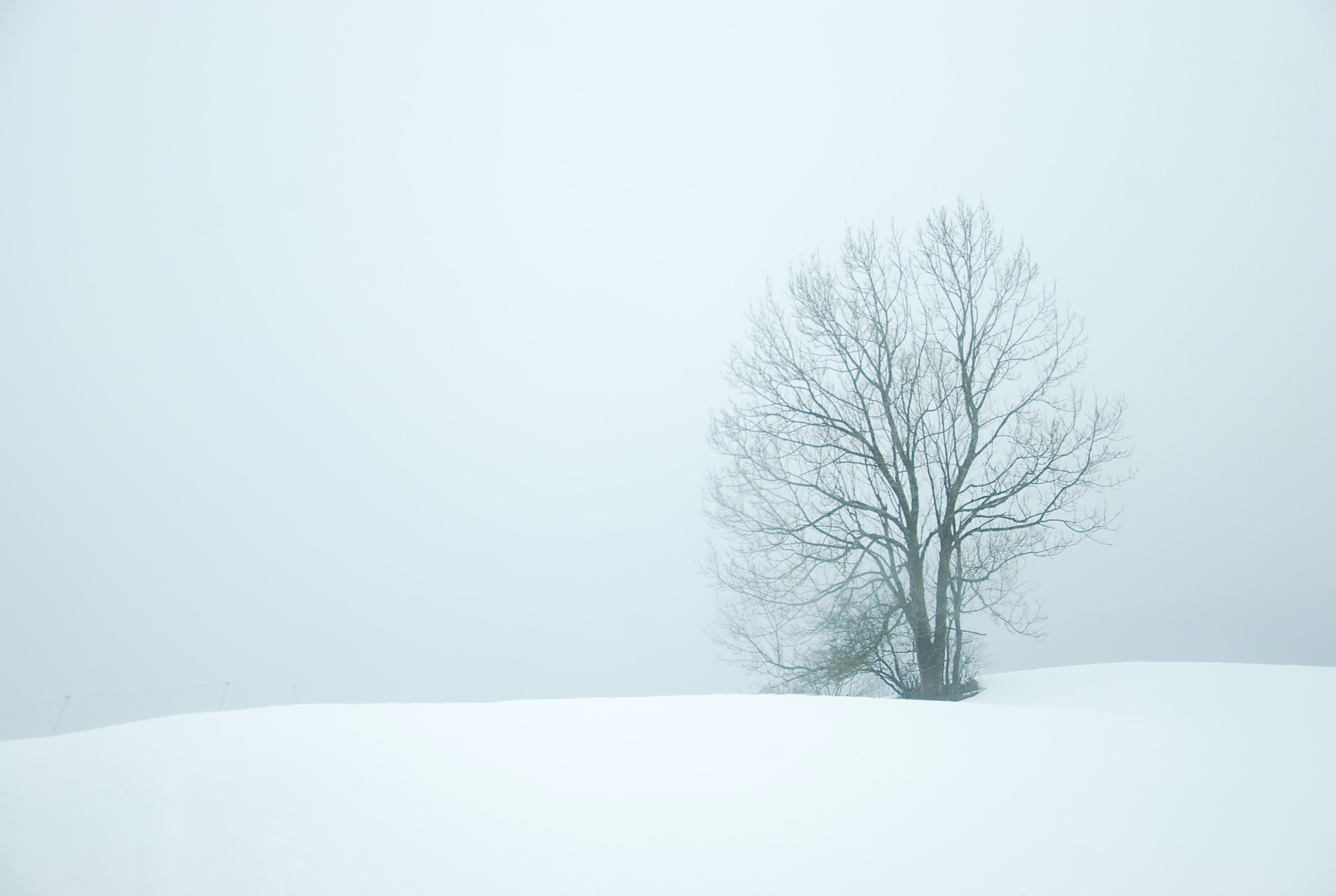 A tree in the snow on a foggy white winter day