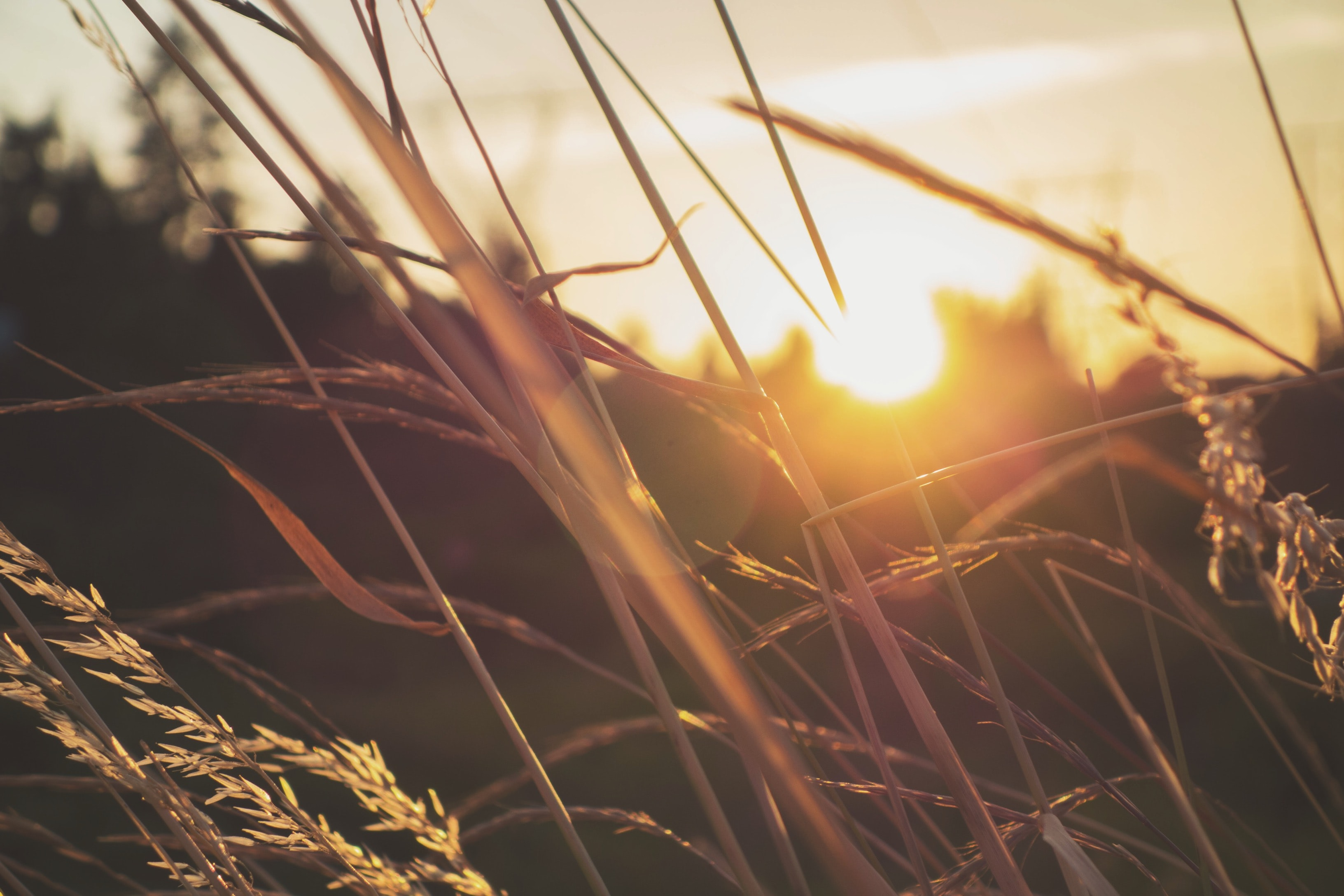 Sun shines over tall prairie grass at golden hour