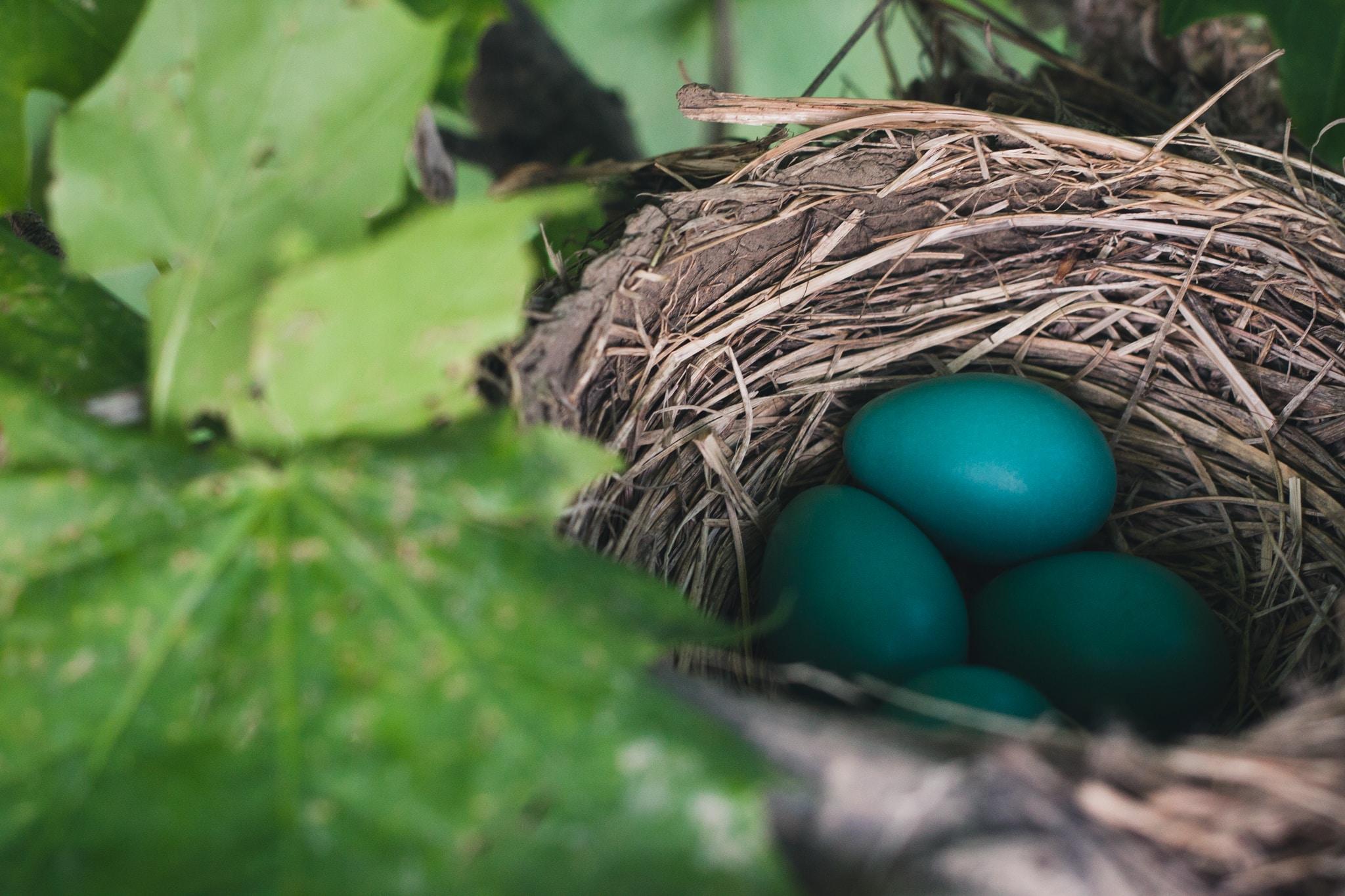 blue eggs on nest