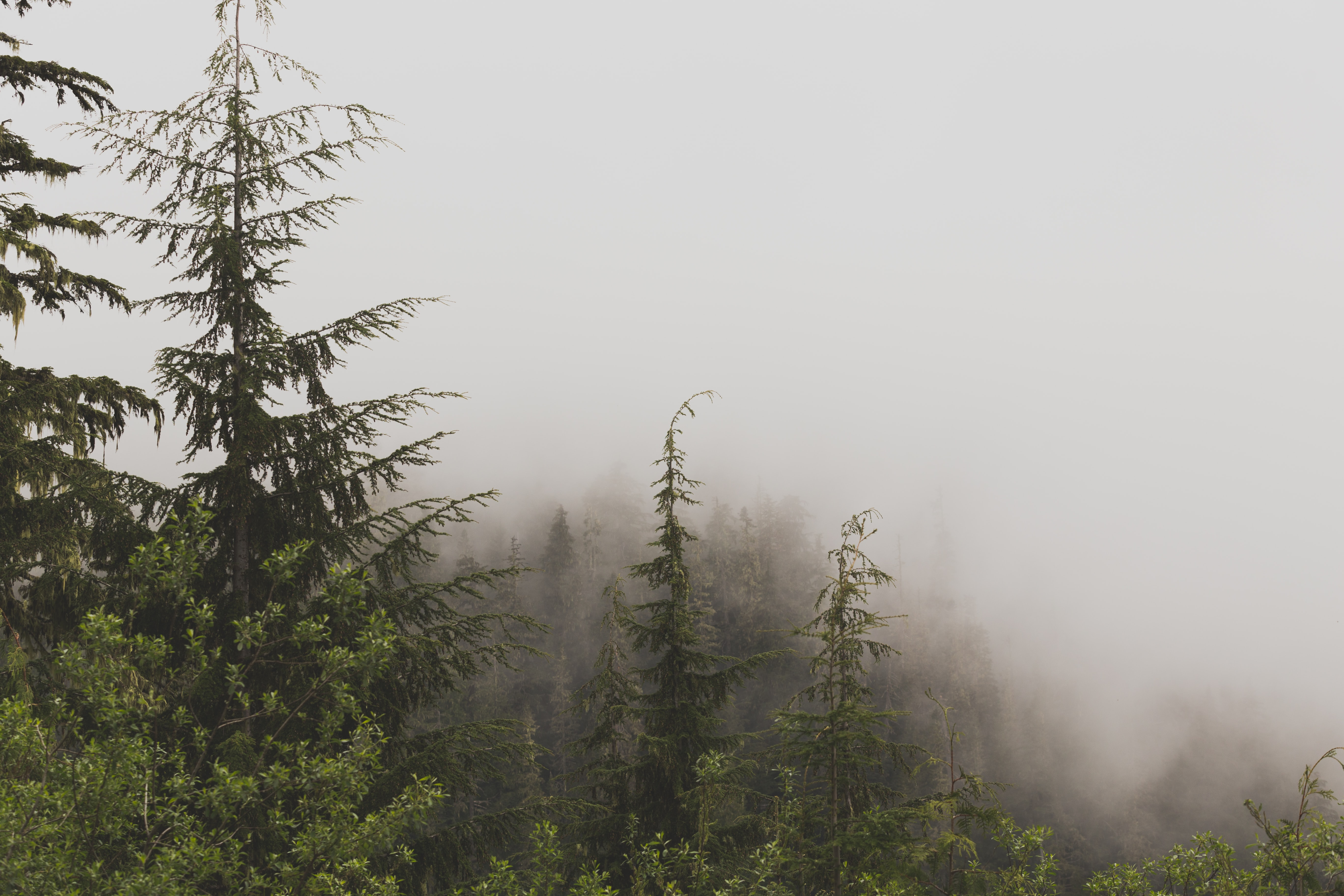 Heavy fog over a pine forest