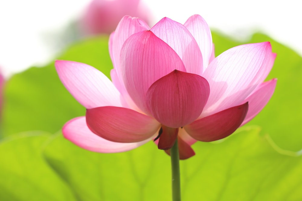photo of about to bloom lotus flower